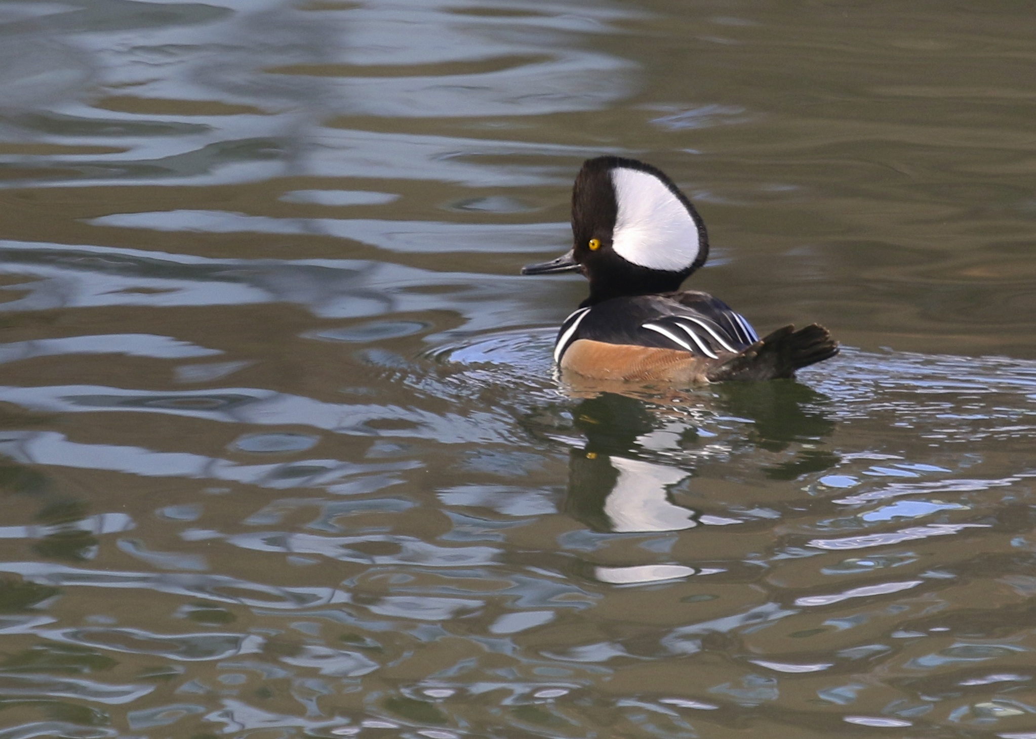 A male Hooded Merganser at Schervier Pavilion in Warwick NY, 3/11/14.