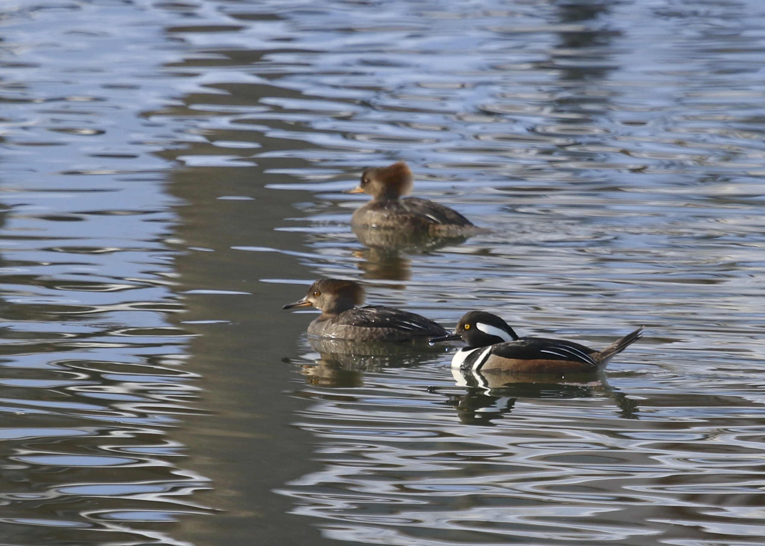 The Hooded Mergansers at Schervier Pavilion were relatively confiding.