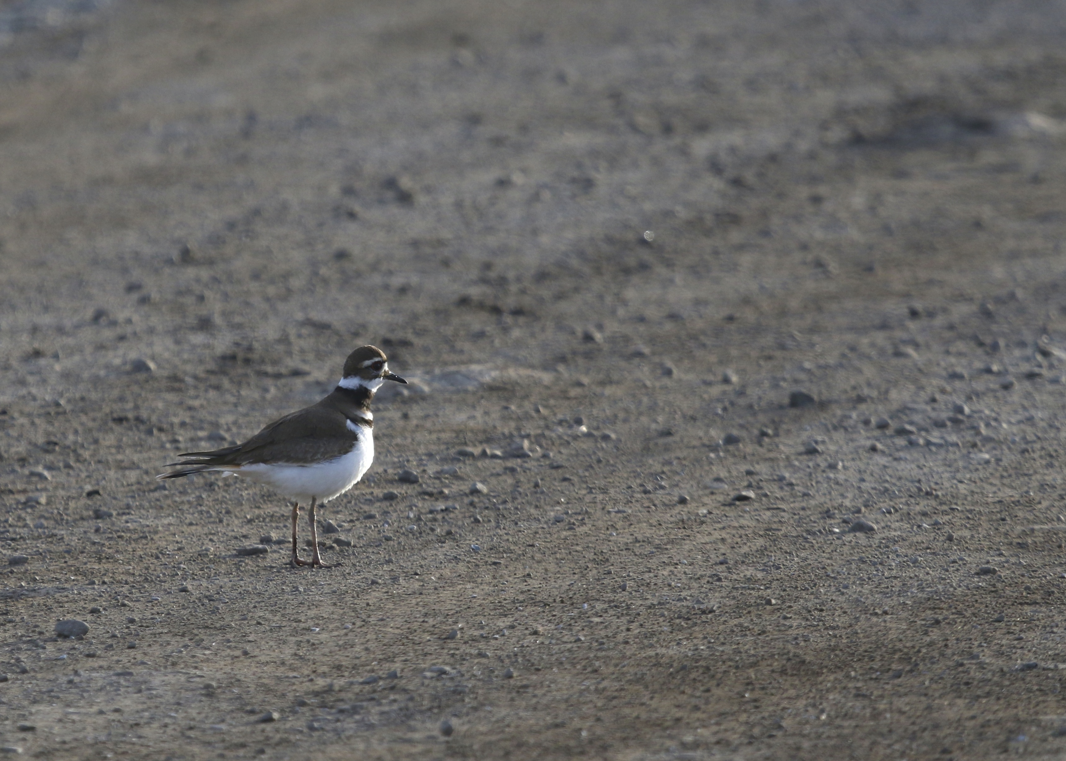 I had my first Orange County Killdeer of the year on this day - 3 in the Black Dirt and 4 at Lower Wisner Road in Warwick. 3/11/14.