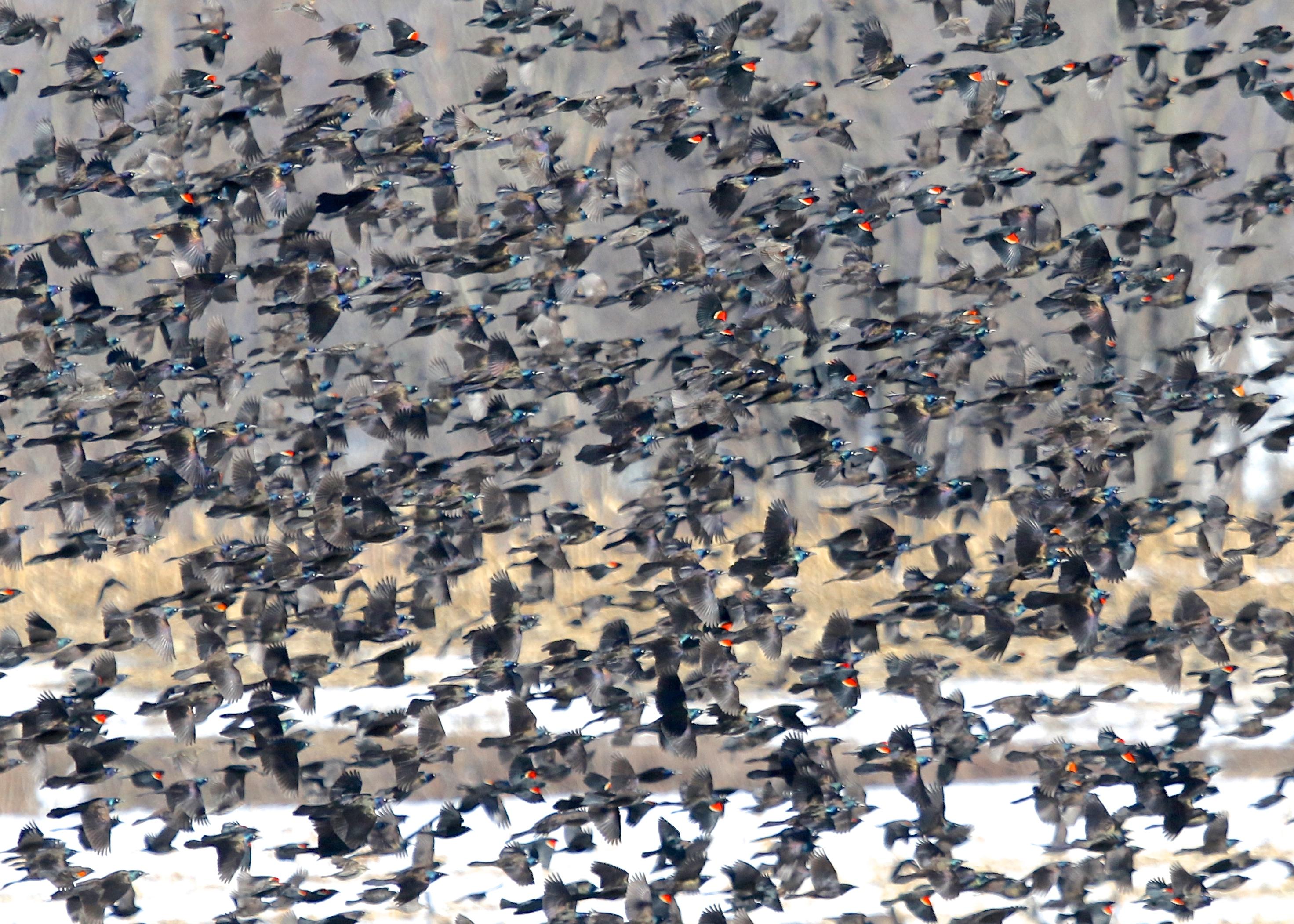 A flock of mixed blackbirds in flight at Onion Avenue in New Hampton NY, 3/14/14.