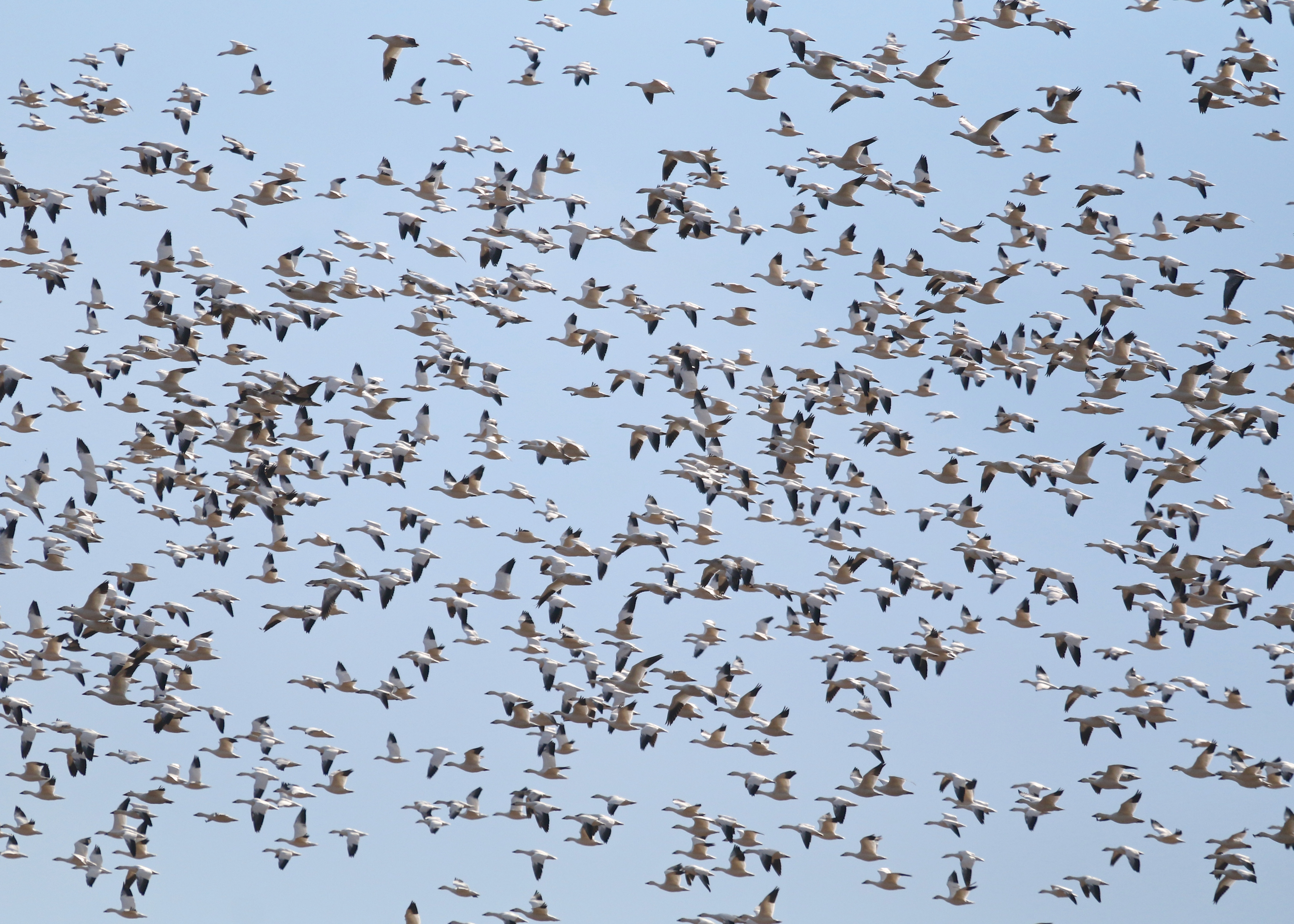 It is very enjoyable to photograph the Snow Geese, though sometimes it's hard to know what to shoot!