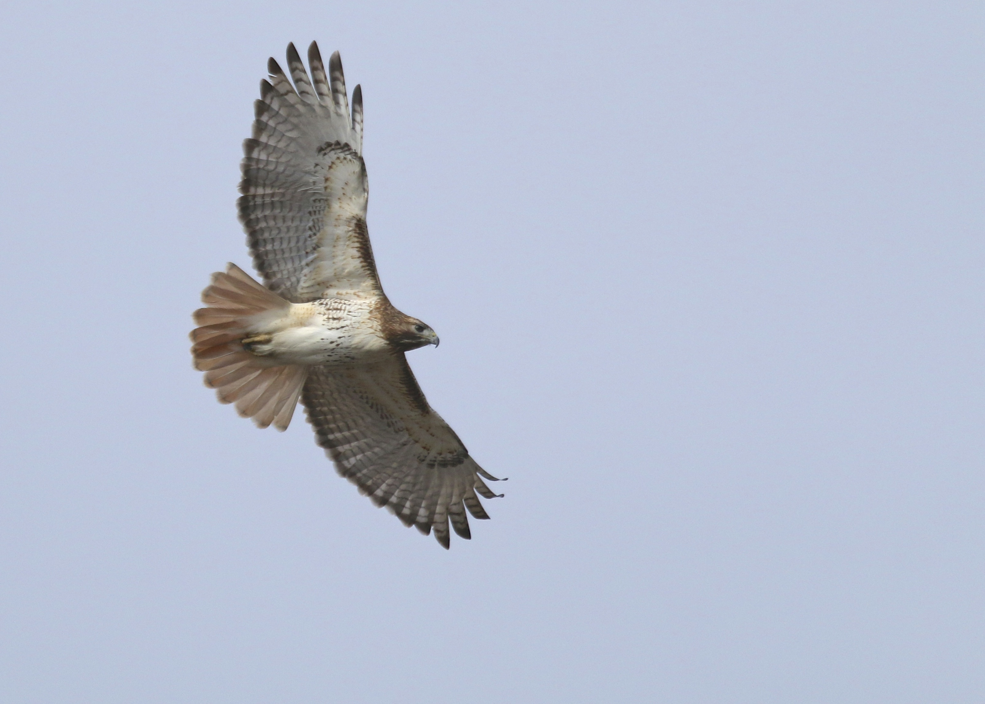 At some point, while shooting the geese, I noticed this Red-tailed Hawk over my shoulder and got a few shots. New Hampton NY, 3/20/14.