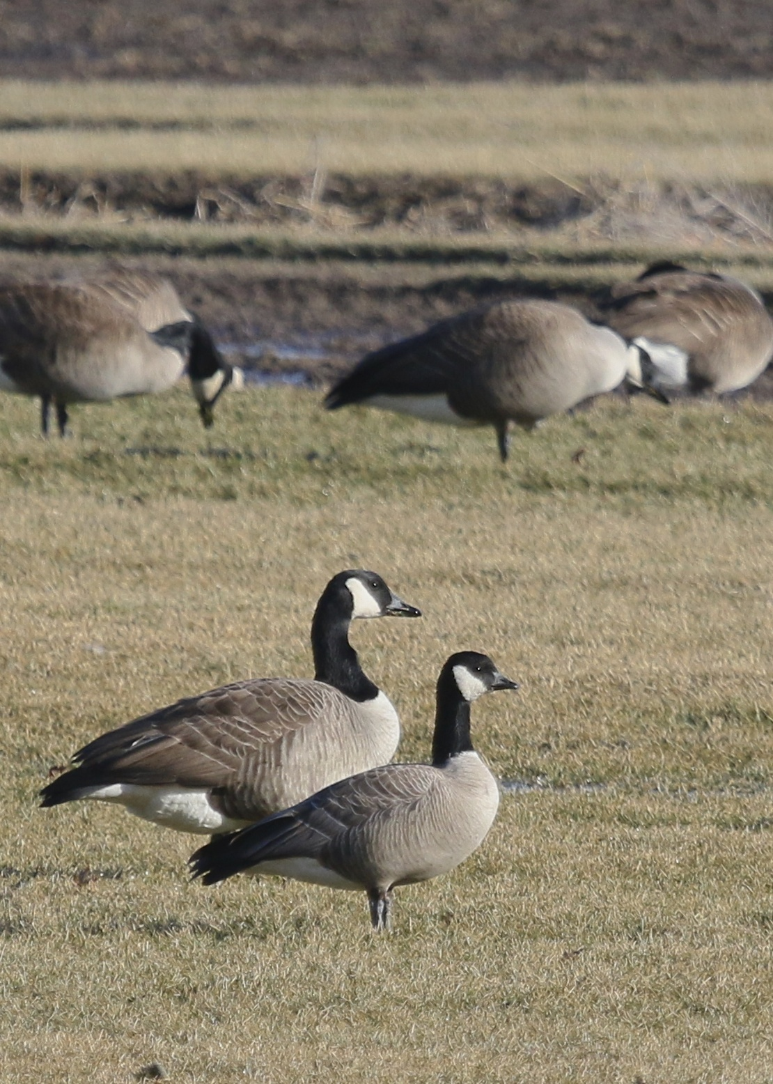 Cackling Goose in the Black Dirt Region, 3/21/14. I like this photo because it you can see the difference between the Canada and the Cackling Goose.
