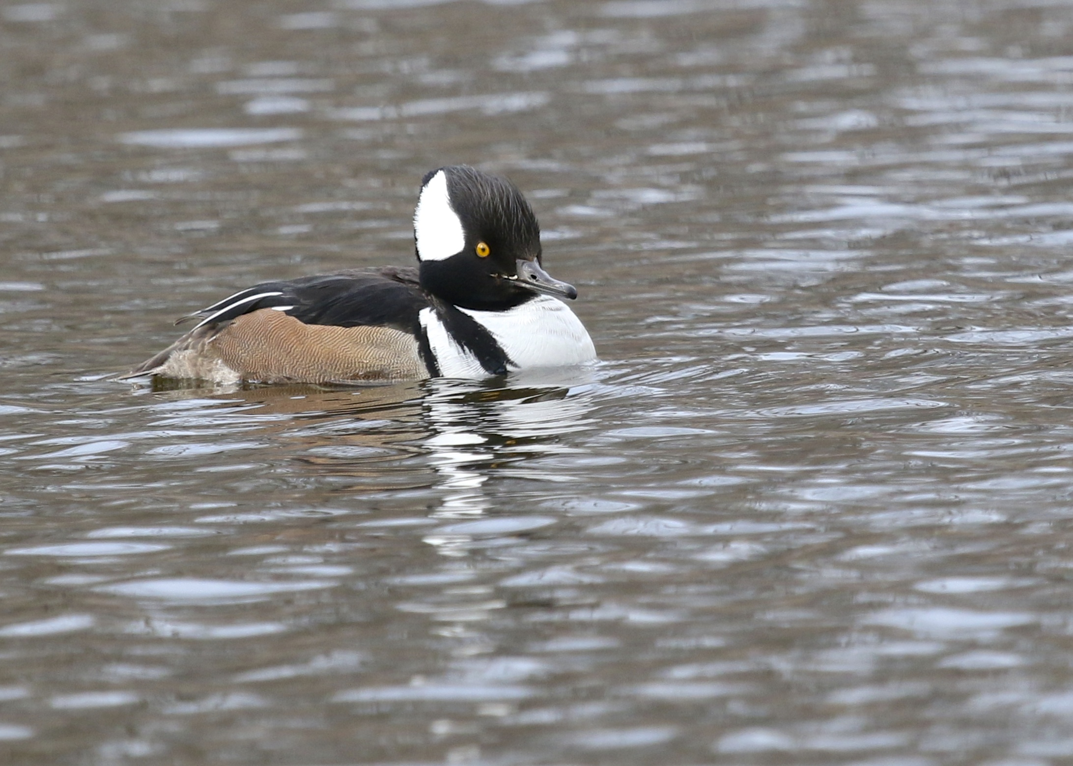 This Hooded Merganser took a back seat to the Red-necked Grebe at Algonquin Park, 3/22/14.