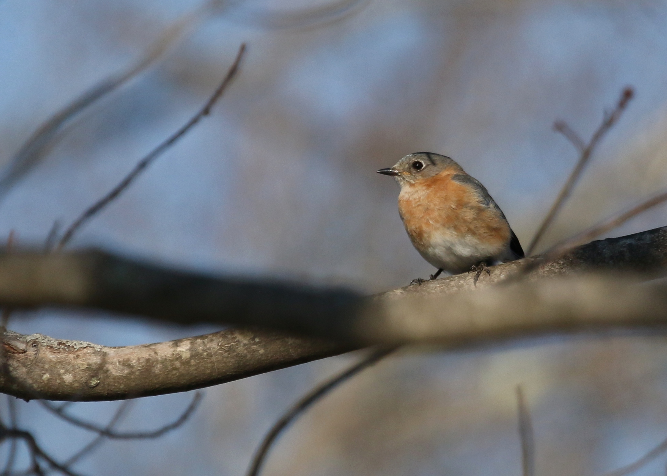 Saturday afternoon I walked some of the trails at the Basha Kill and found this Eastern Bluebird.