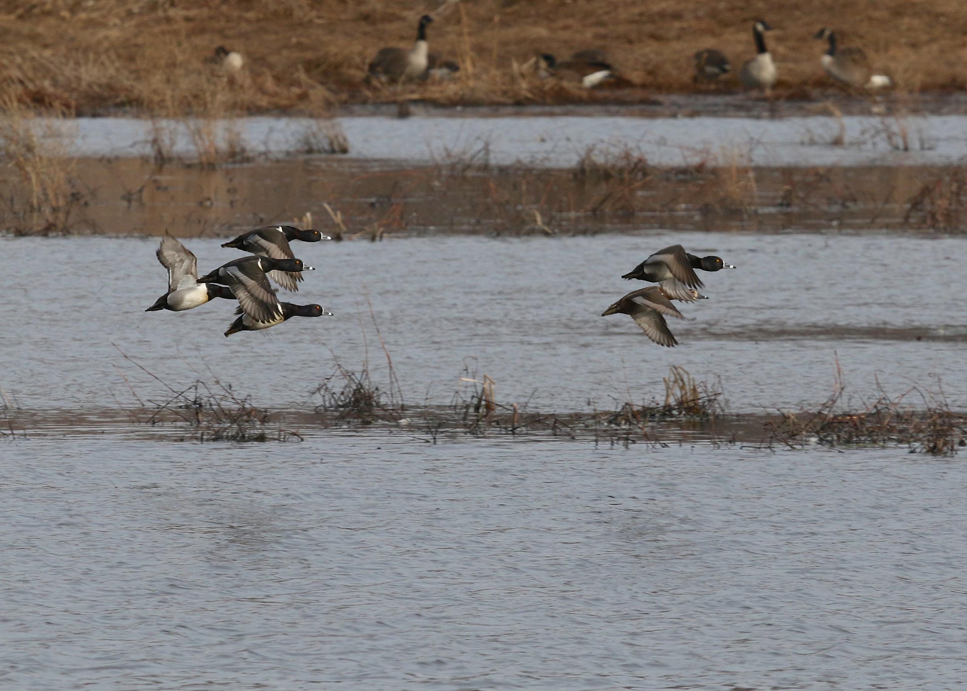Ring-necked Ducks in flight at Wallkill River NWR, 3/27/14.