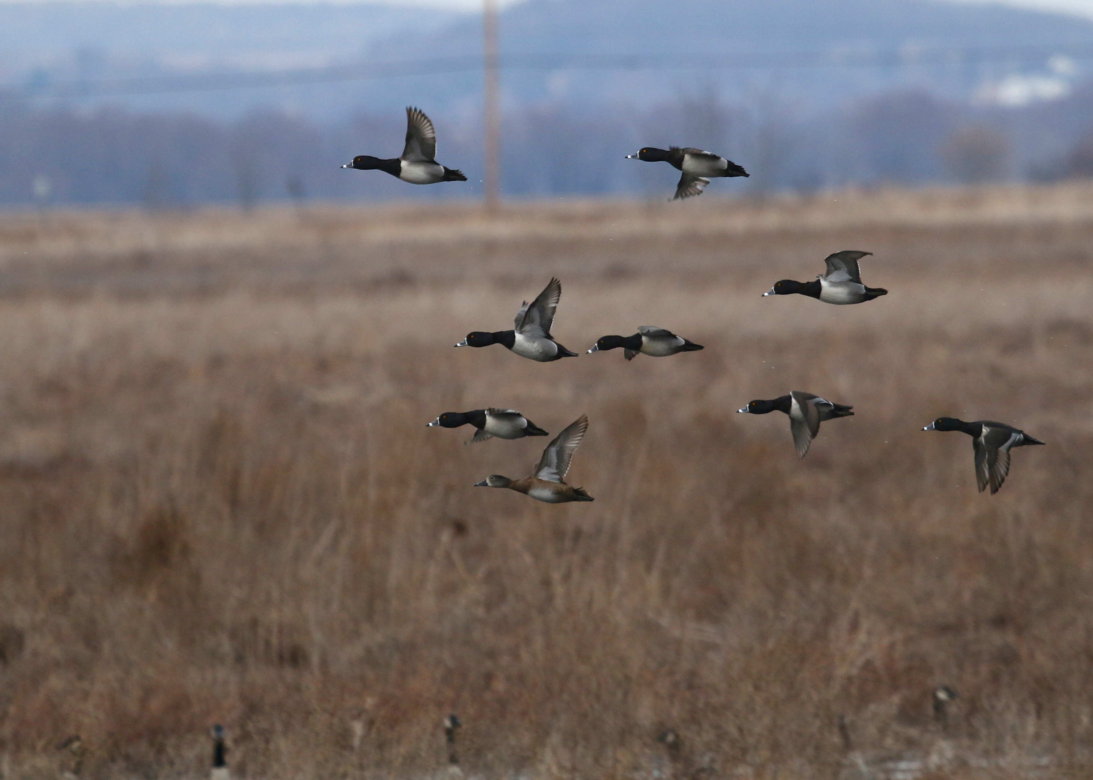 More RNDUs in flight at the Wallkill River NWR, 3/27/14.