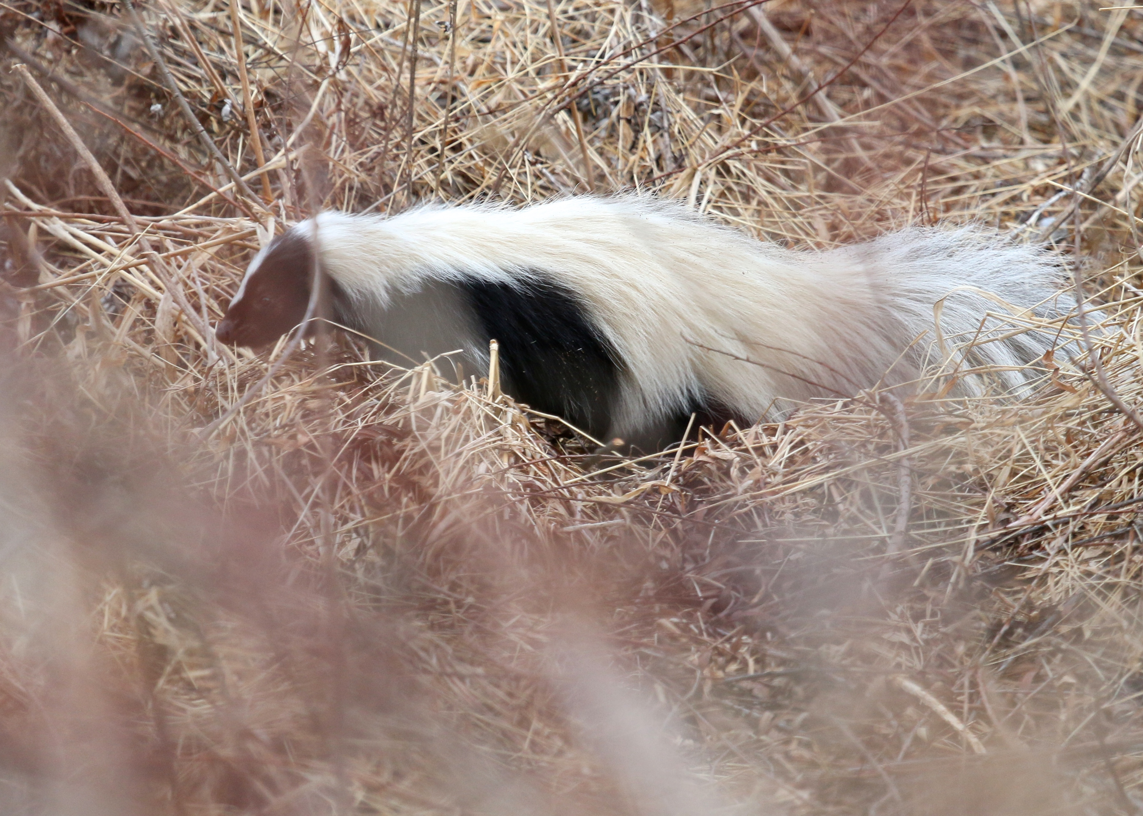 Thanks to the gentleman on the trail that gave me the heads-up about this skunk. Wallkill River NWR, 3/27/14.