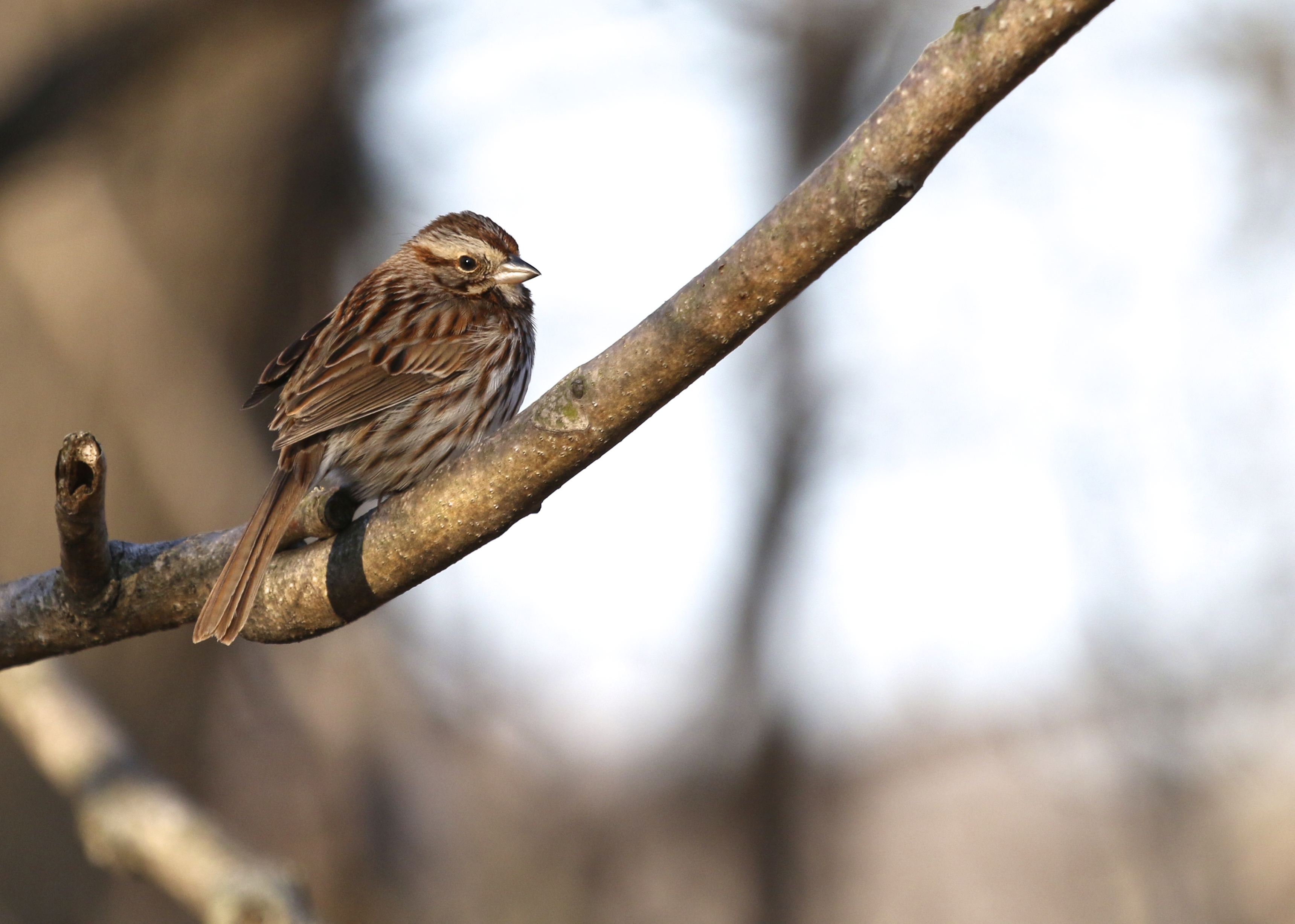 Song Sparrow at 6 1/2 Station Road Sanctuary, 3/31/14.