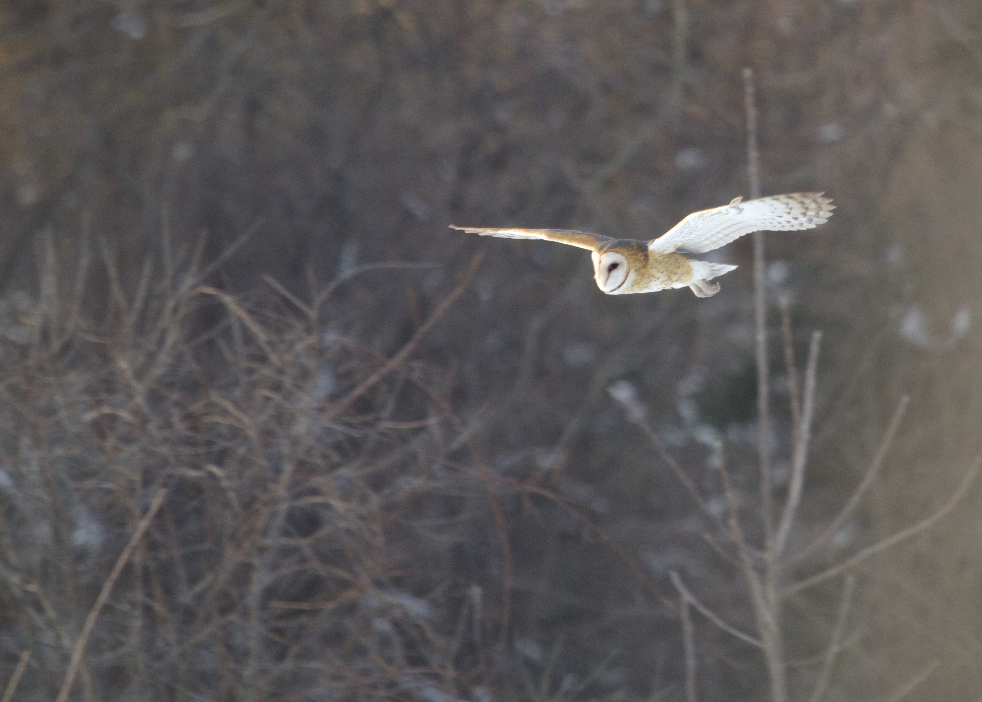 Barn Owl in flight, Orange County NY, 2/14/14.