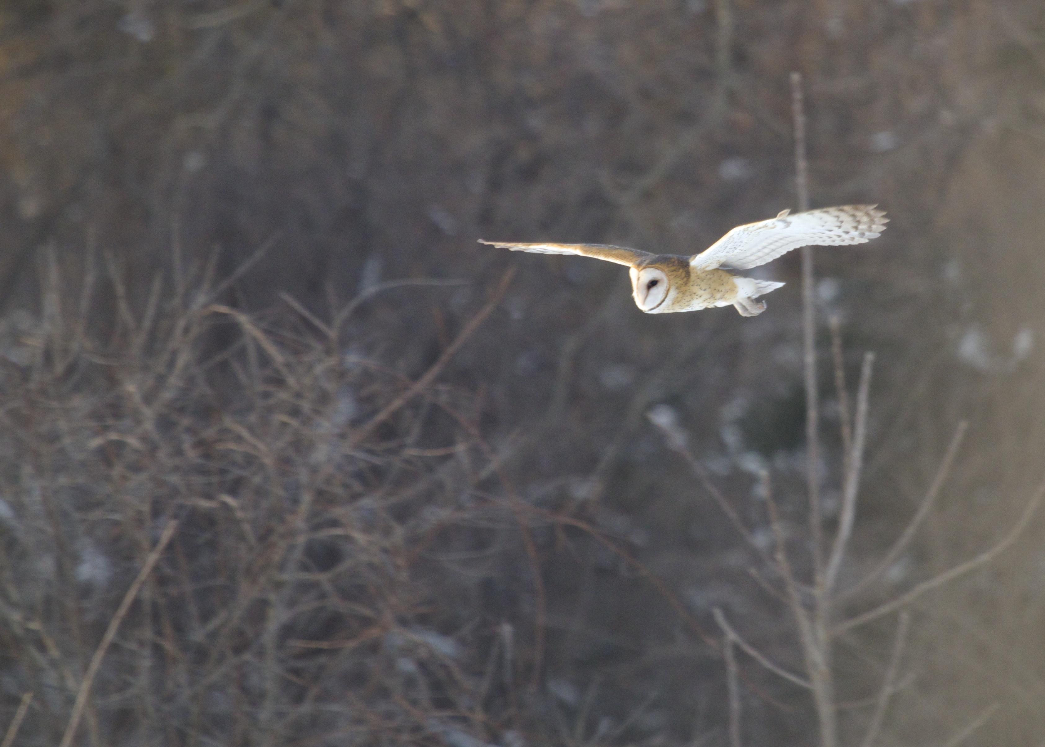 Barn Owl in flight, Orange County NY, 2/14/14.