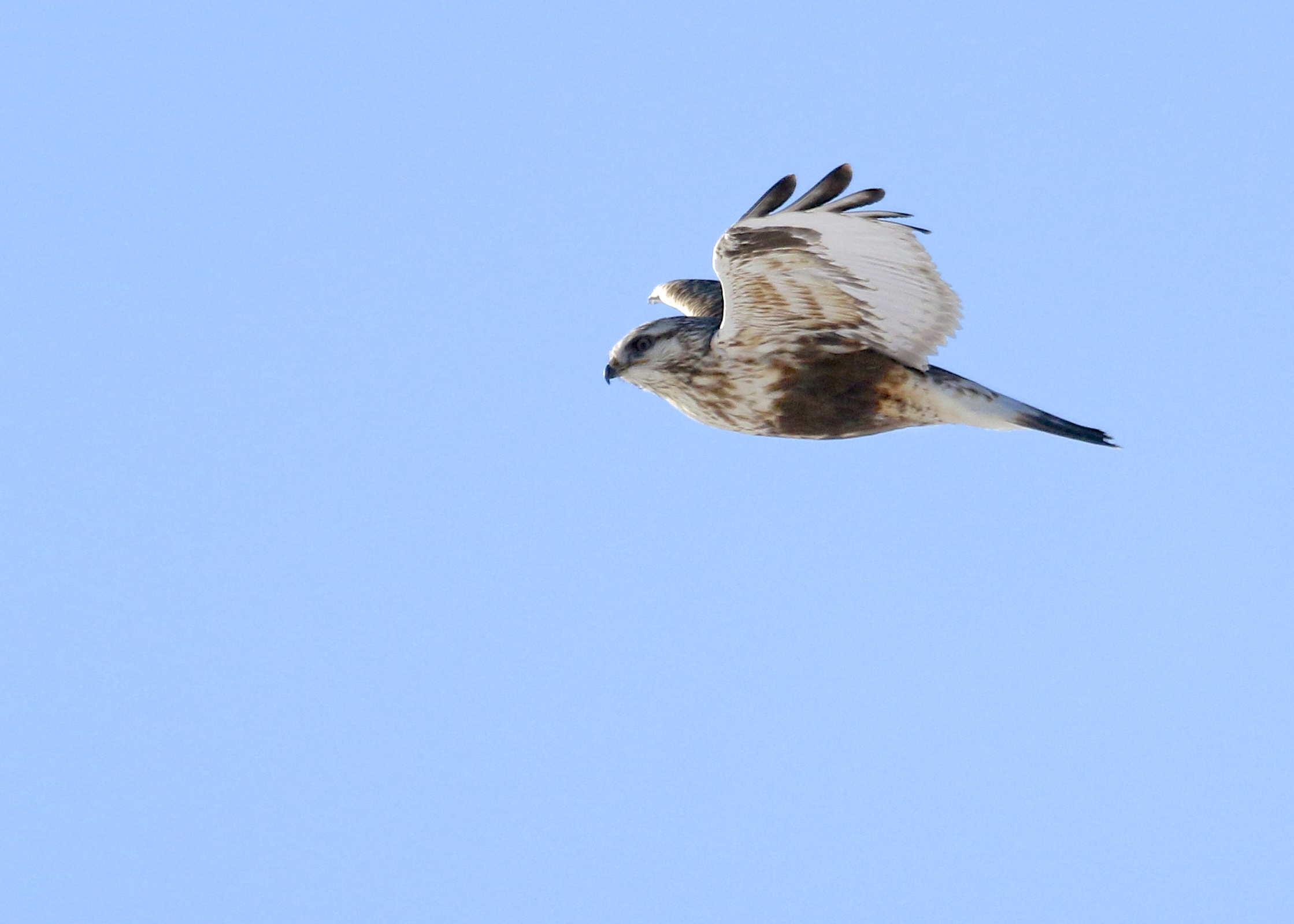 Rough-legged Hawk on Mt. Eve Road, on my way out to Wallkill River NWR, 2/28/14.