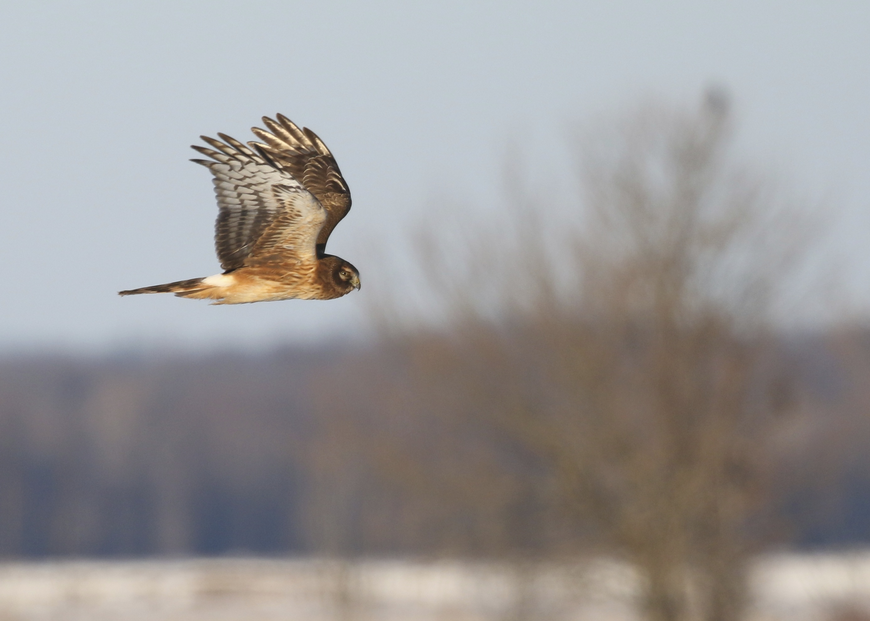 It's been ages since I've gotten a good Northern Harrier shot - I think I was spoiled last winter when they seemed to always be around. Wallkill River NWR, 2/28/14.