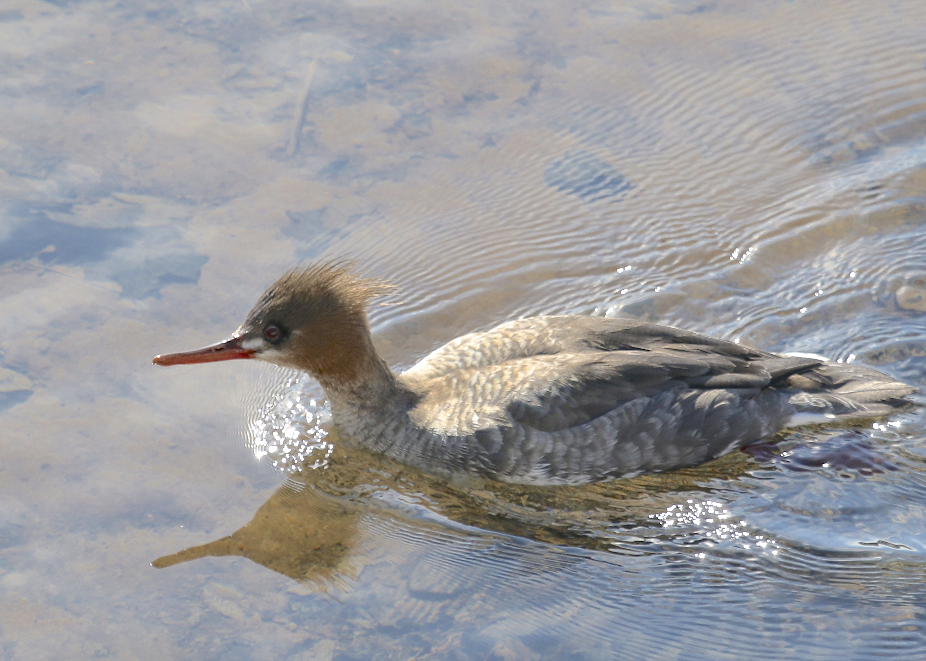 Common Merganser at Rondout Reservoir, 3/1/14.