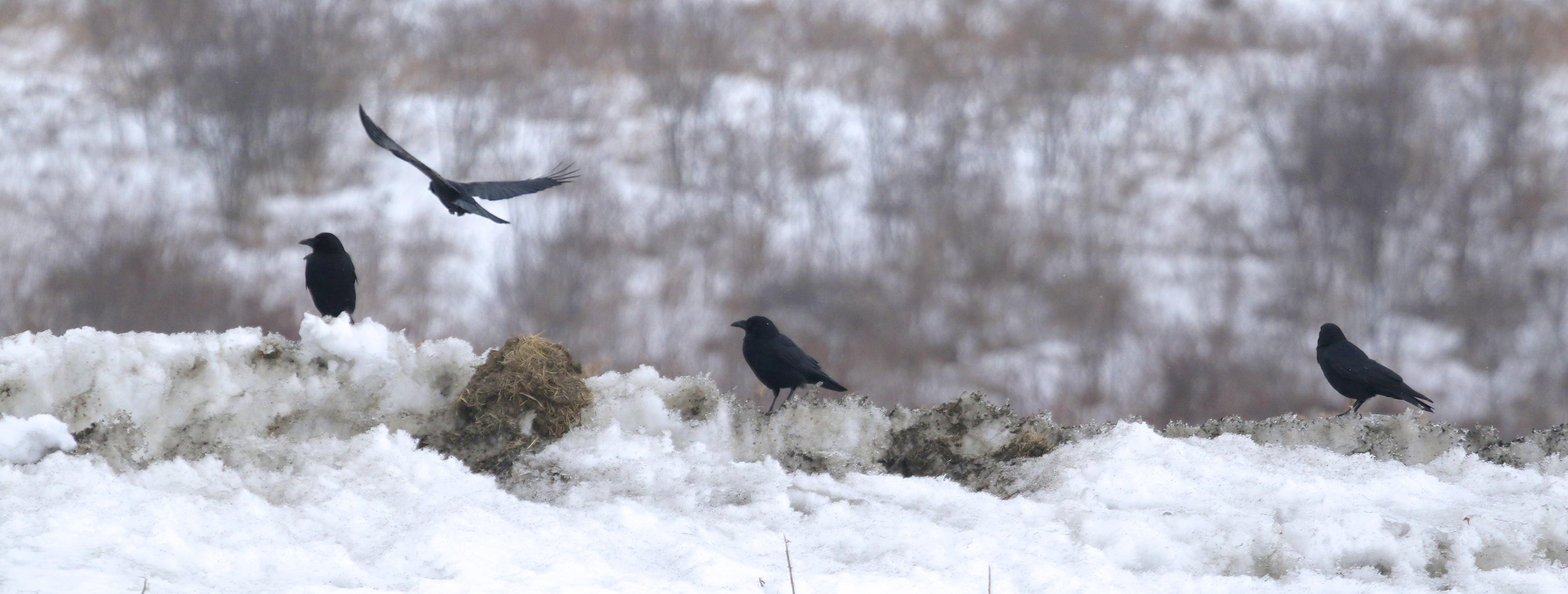 It's tough to get a good shot of American Crows. Pierce Circle, 3/2/14.