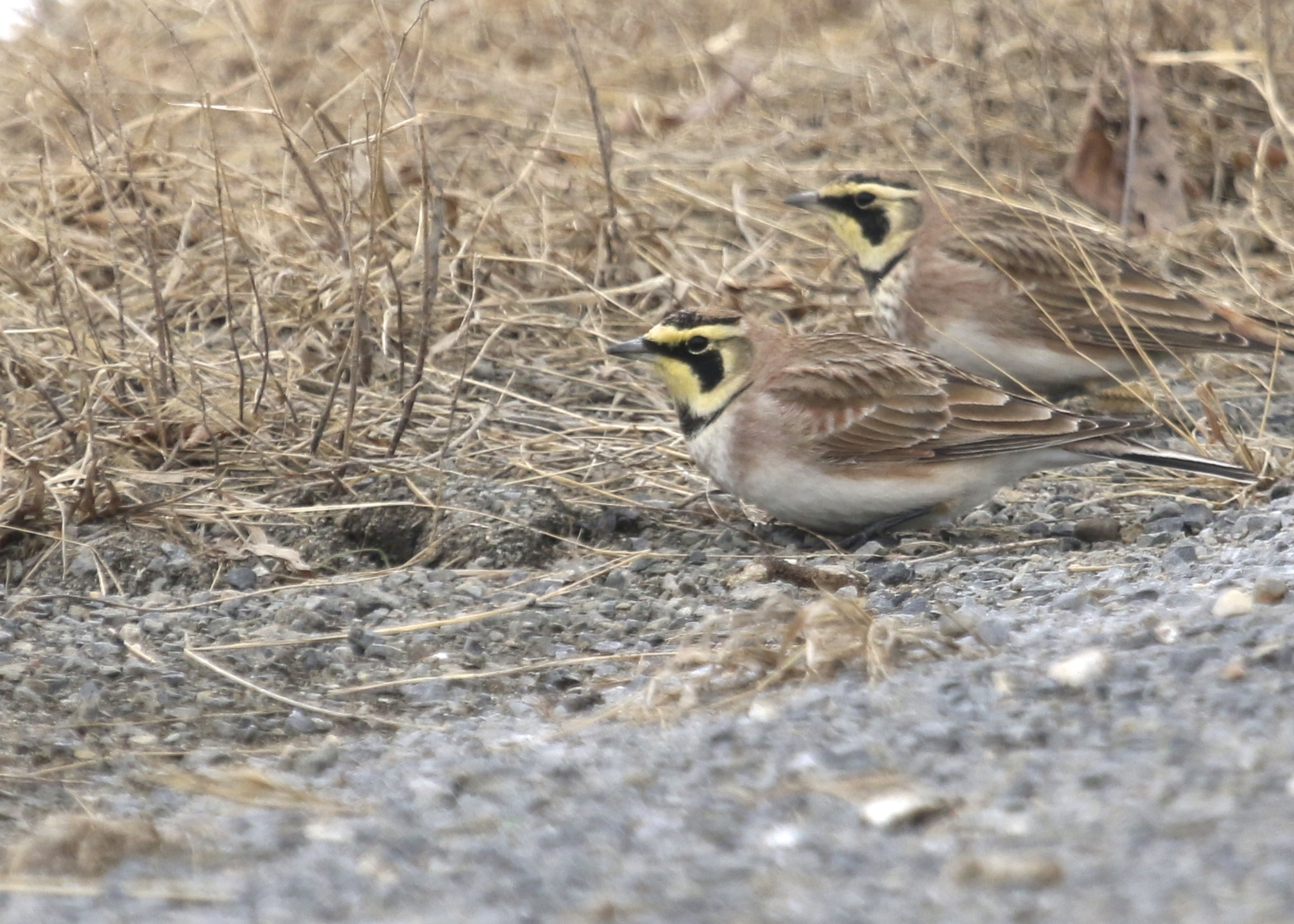 Horned Larks are still present in numbers in Orange County, I came across several good sized flocks today. This shot was from Onion Avenue, 3/2/14.