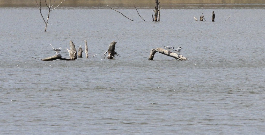 Three Bonaparte's Gulls at Owen Station Road, 4/26/14. Photo by Linda Scrima.