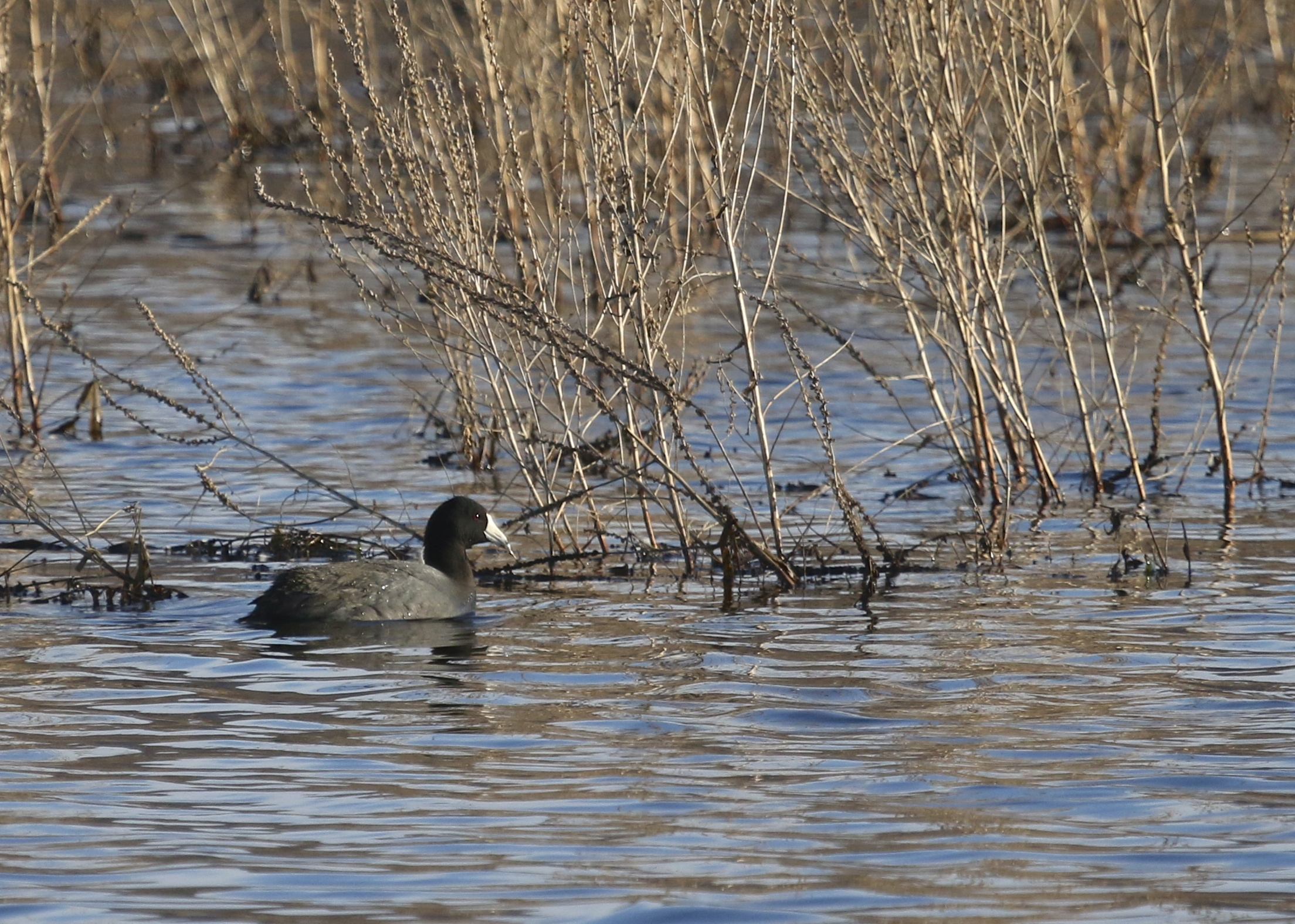 My FOY American Coot, one of three at the Wallkill River NWR, 4/2/14.