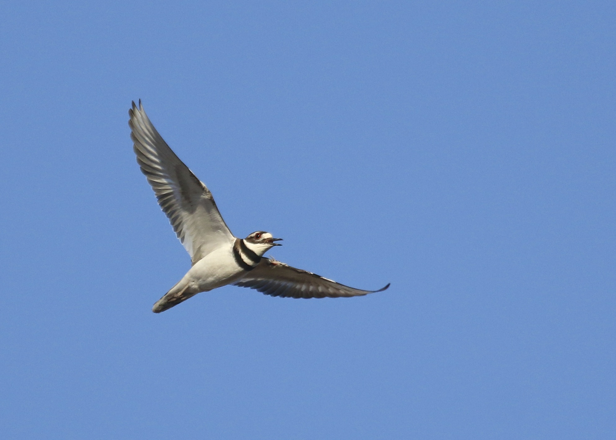 Killdeer at Wallkill River NWR, 4/2/14.