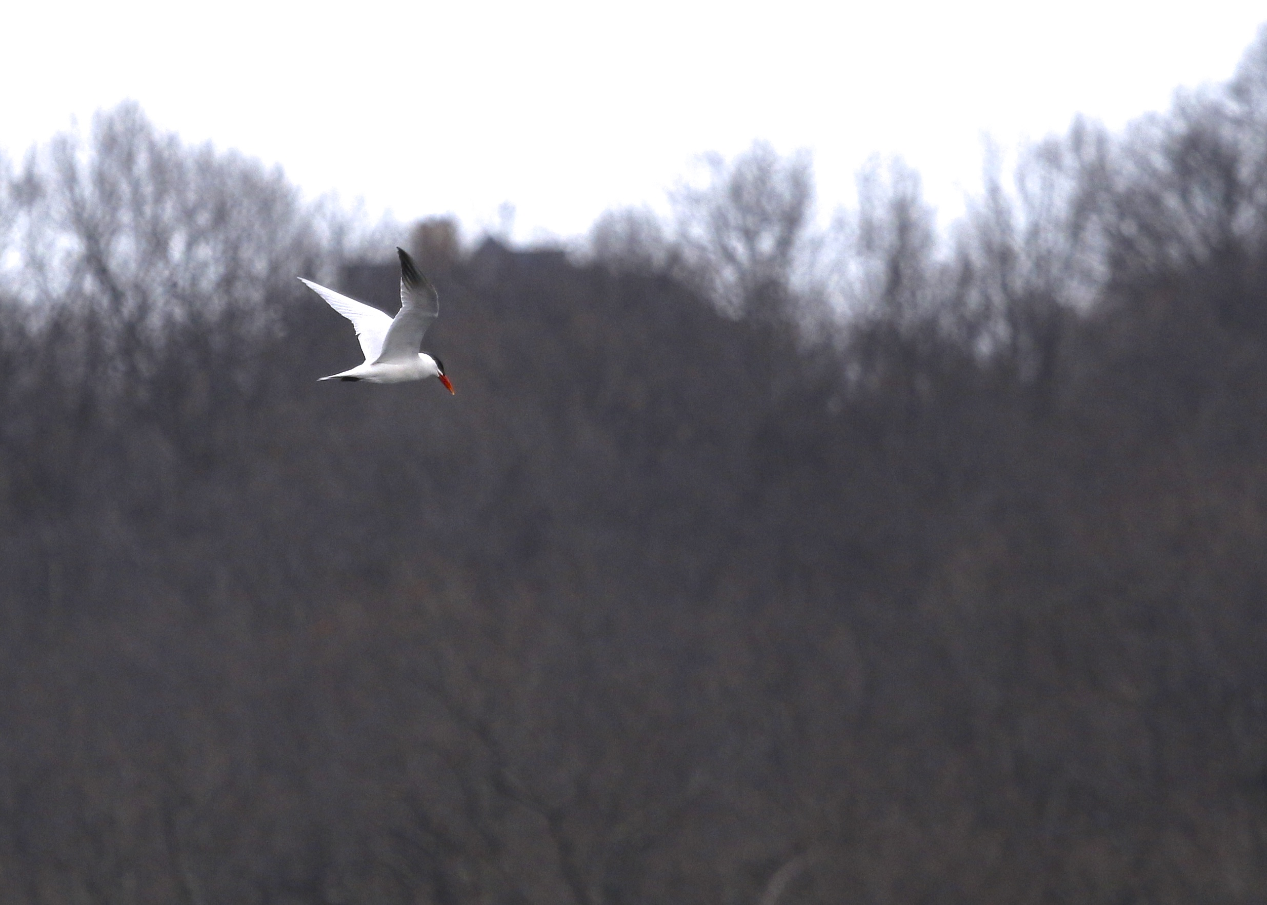 Caspian Tern in flight over Glenmere Lake, 4/3/14.