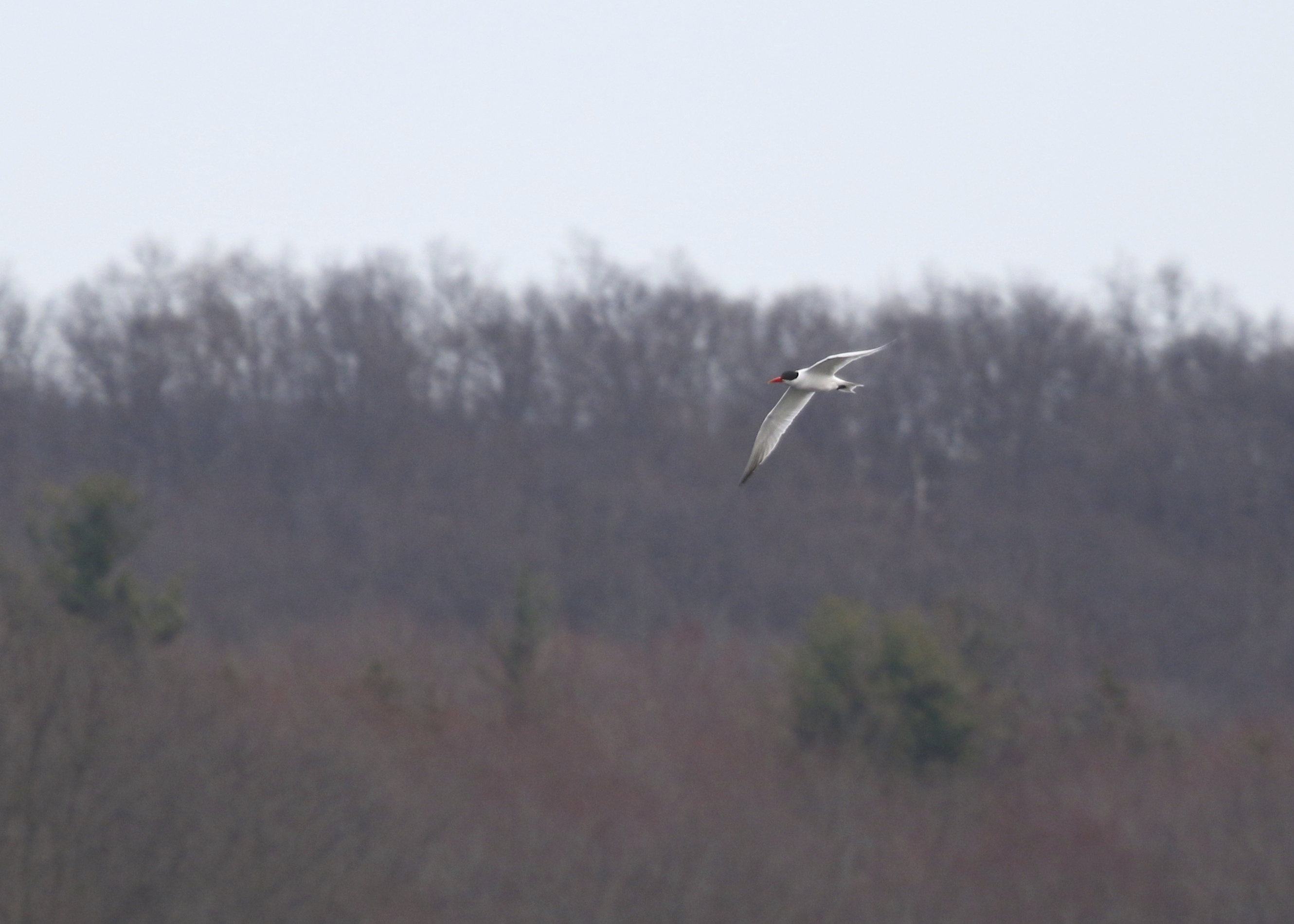 Caspian Tern at Glenmere Lake, 4/3/14.