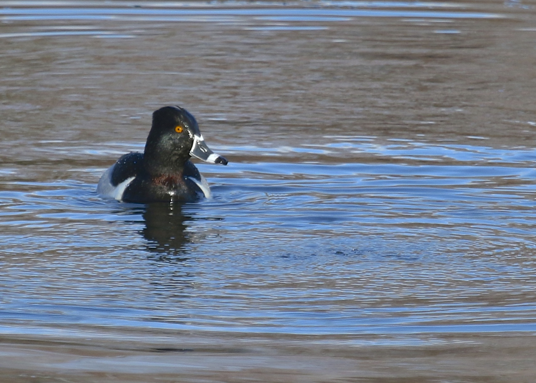 At Orange & Rockland lake there were three Ring-necked Ducks that were very accommodating, 4/5/14.