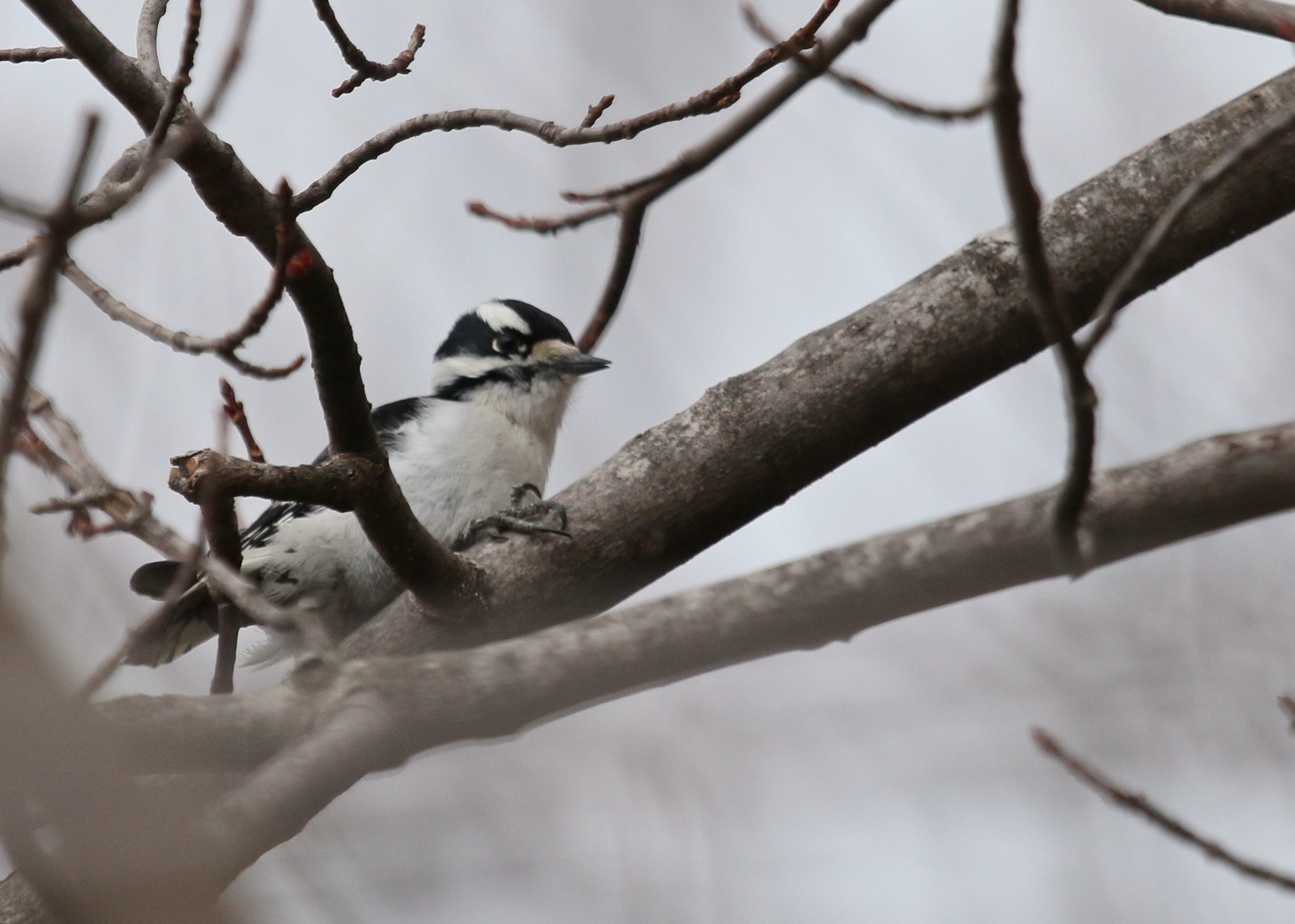 Downy Woodpecker at Wallkill River NWR, 4/5/14.