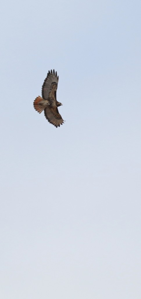 This Red-tailed Hawk was harassing the ducks for a short time, making many of them pick up. Wallkill River NWR, 4/514.