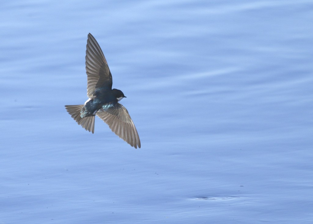 Tree Swallow in flight at the Bashakill, 4/6/14.