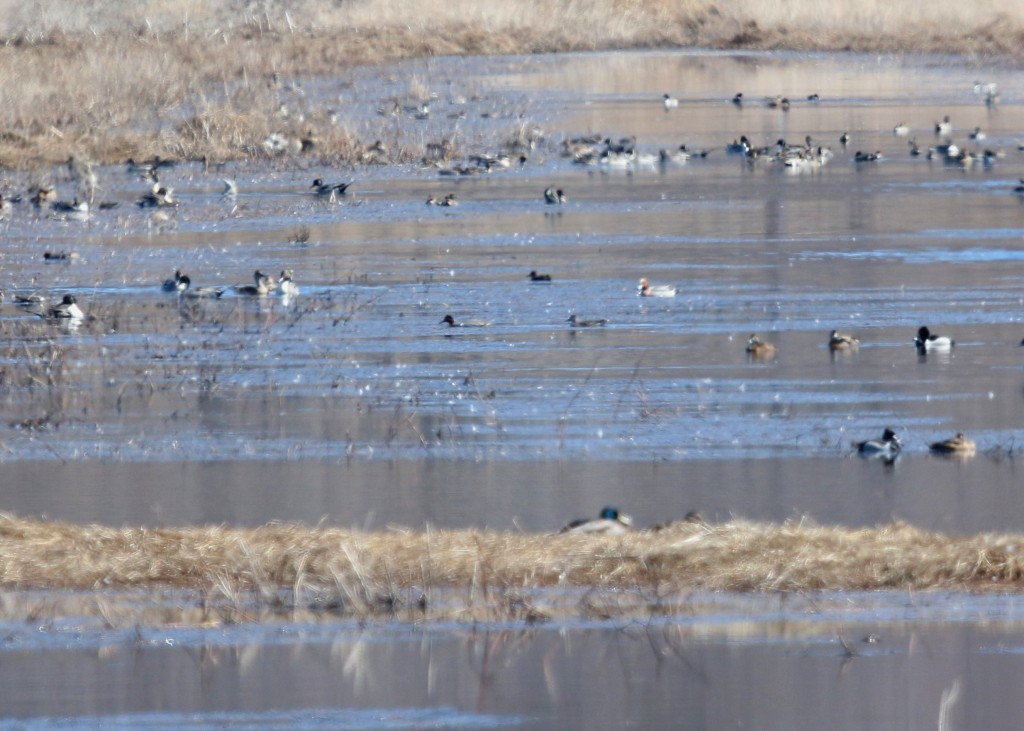 Eurasian Wigeon in the top third of the photo a little to the right. Click here to see what the bird actually looks like.