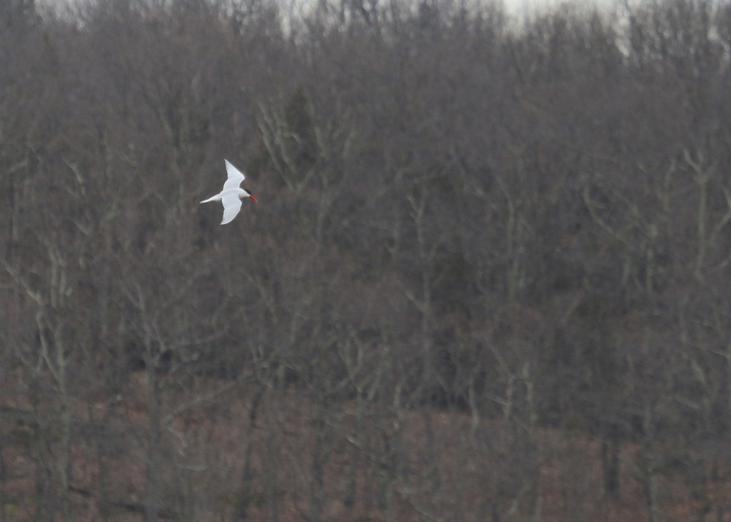 One of two Caspian Terns at Glenmere Lake this afternoon, 4/8/14.