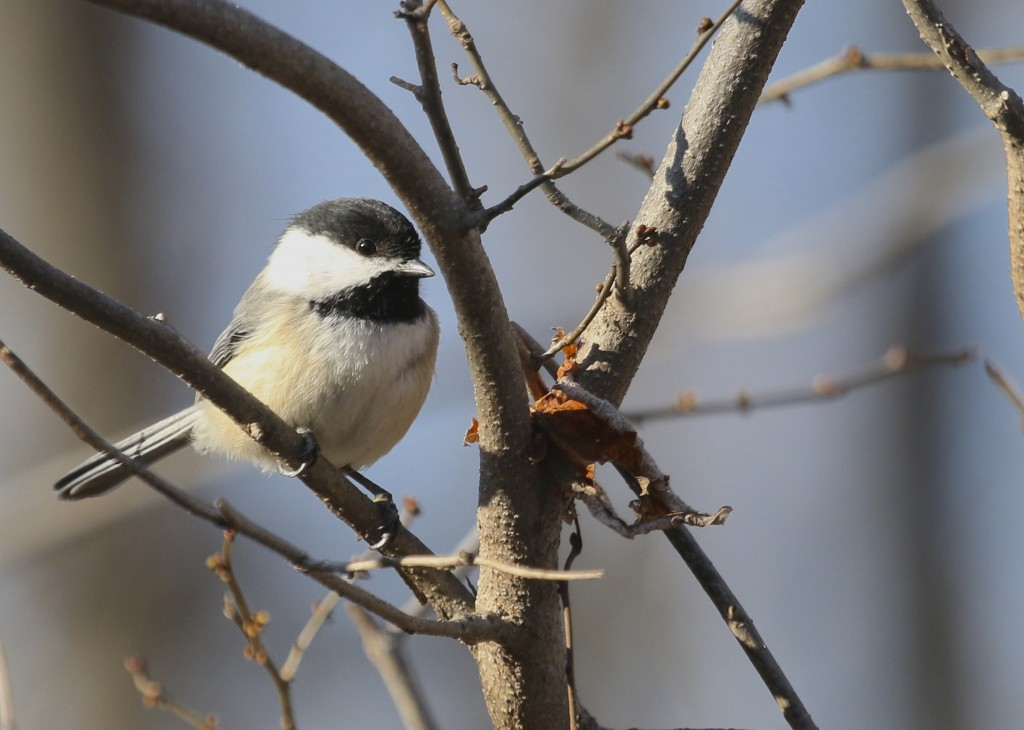 Black-capped Chickadee at Wallkill River NWR, 4/9/14.
