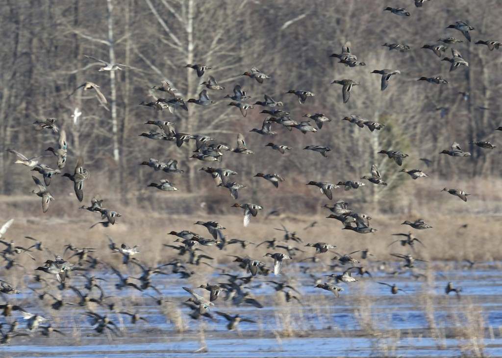 Waterfowl in flight! Wallkill River NWR, 4/9/14.