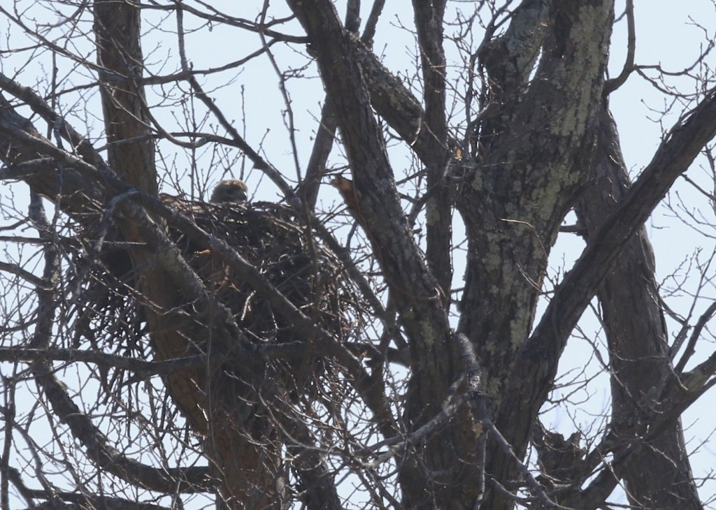 Huge thanks to Carol for the heads up. Red-tailed Hawk on the nest, Warwick NY, 4/10/14.