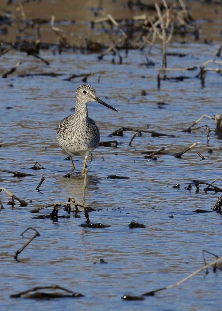 My FOS Greater Yellowlegs at the small pond near Glenmere Lake, 4/10/14.