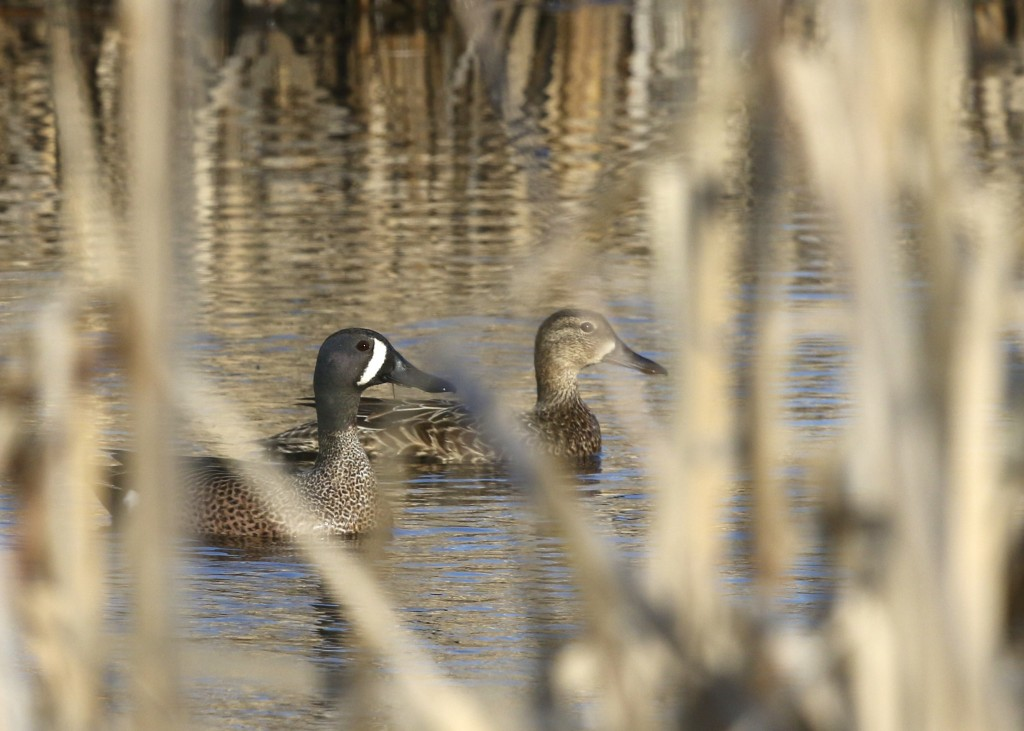 One of my favorite ducks, a pair of Blue-winged Teals at 6 1/2 Station Road Sanctuary, 4/10/14.
