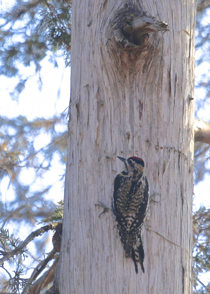 A Yellow-bellied Sapsucker works the shady side of a tree. Glenmere Lake, 4/12/14.