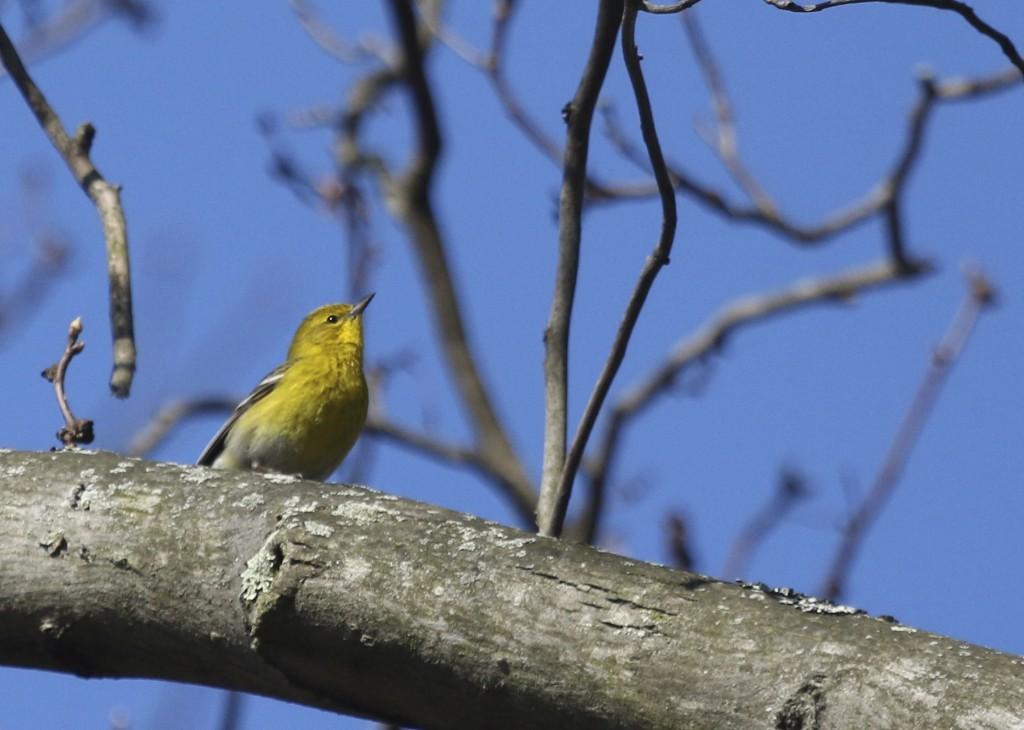 Pine Warbler, Glenmere Lake 4/12/14.