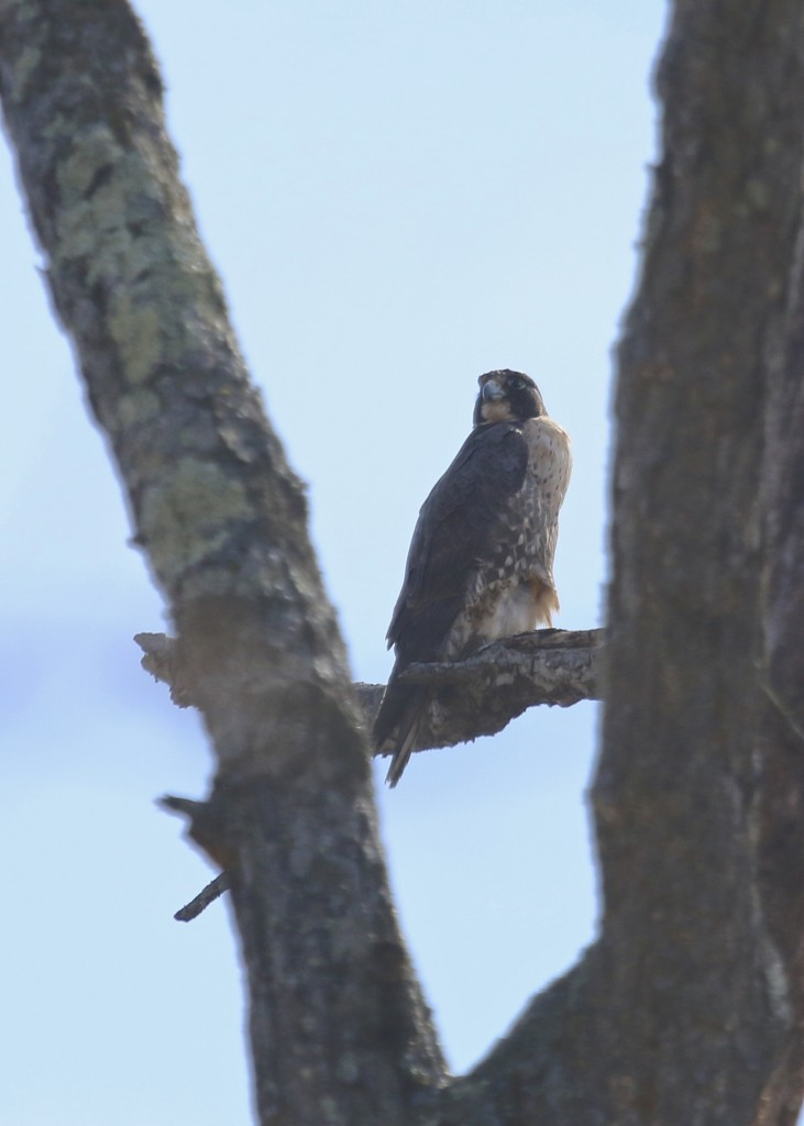 Peregrine Falcon at Wallkill River NWR, 4/12/14.
