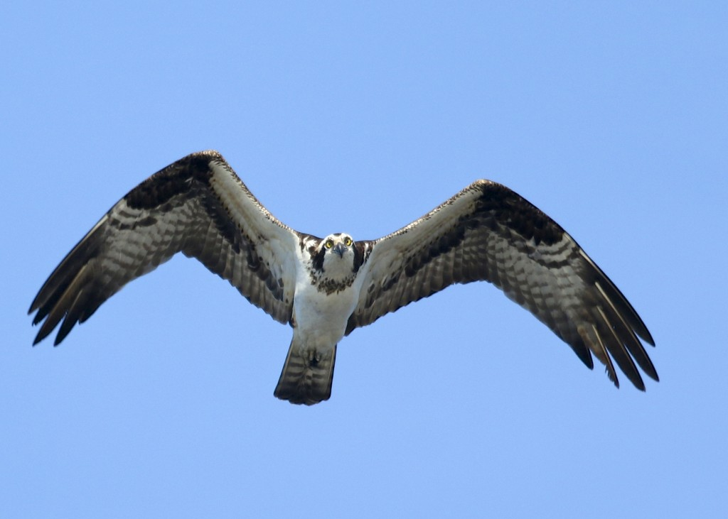 Osprey at the Bashakill, 4/12/14.