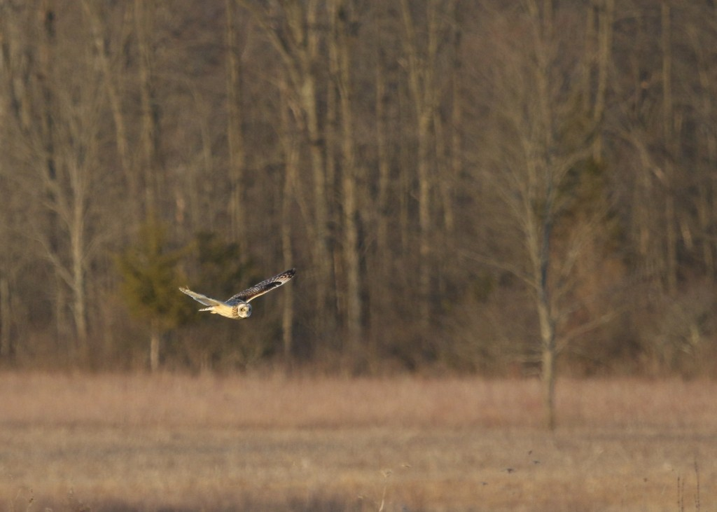 I had a single Short-eared Owl at the grasslands tonight, 4/12/14.