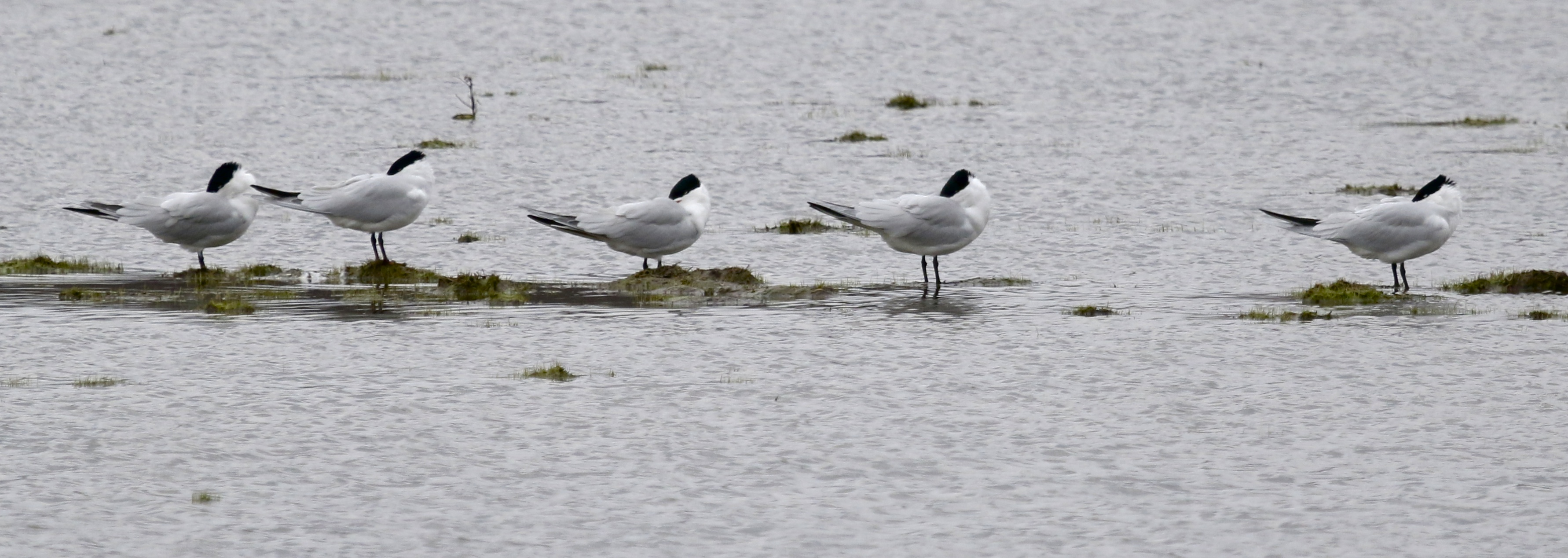 Six of the 25 Caspian Terns we had at Montezuma NWR, 4/19/14.
