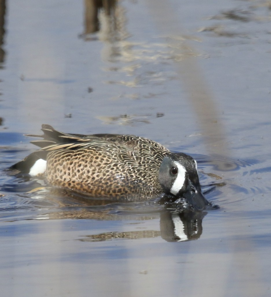 I always seem to be shooting Blue-winged Teal through the grasses. Montezuma NWR, 4/19/14.