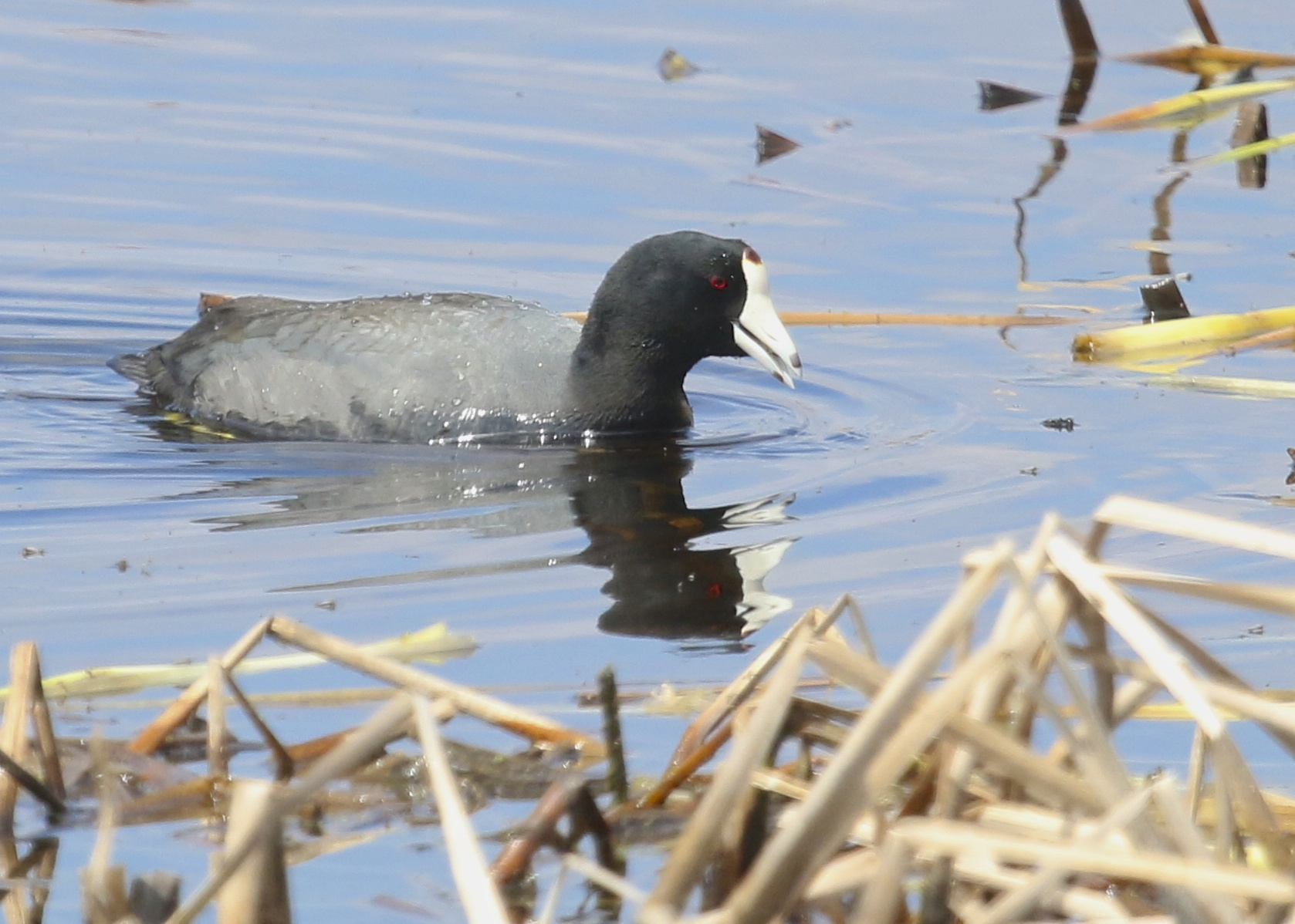 I like this shot of an American Coot, which is not a very photogenic bird in my experience. Montezuma NWR, 4/19/14.