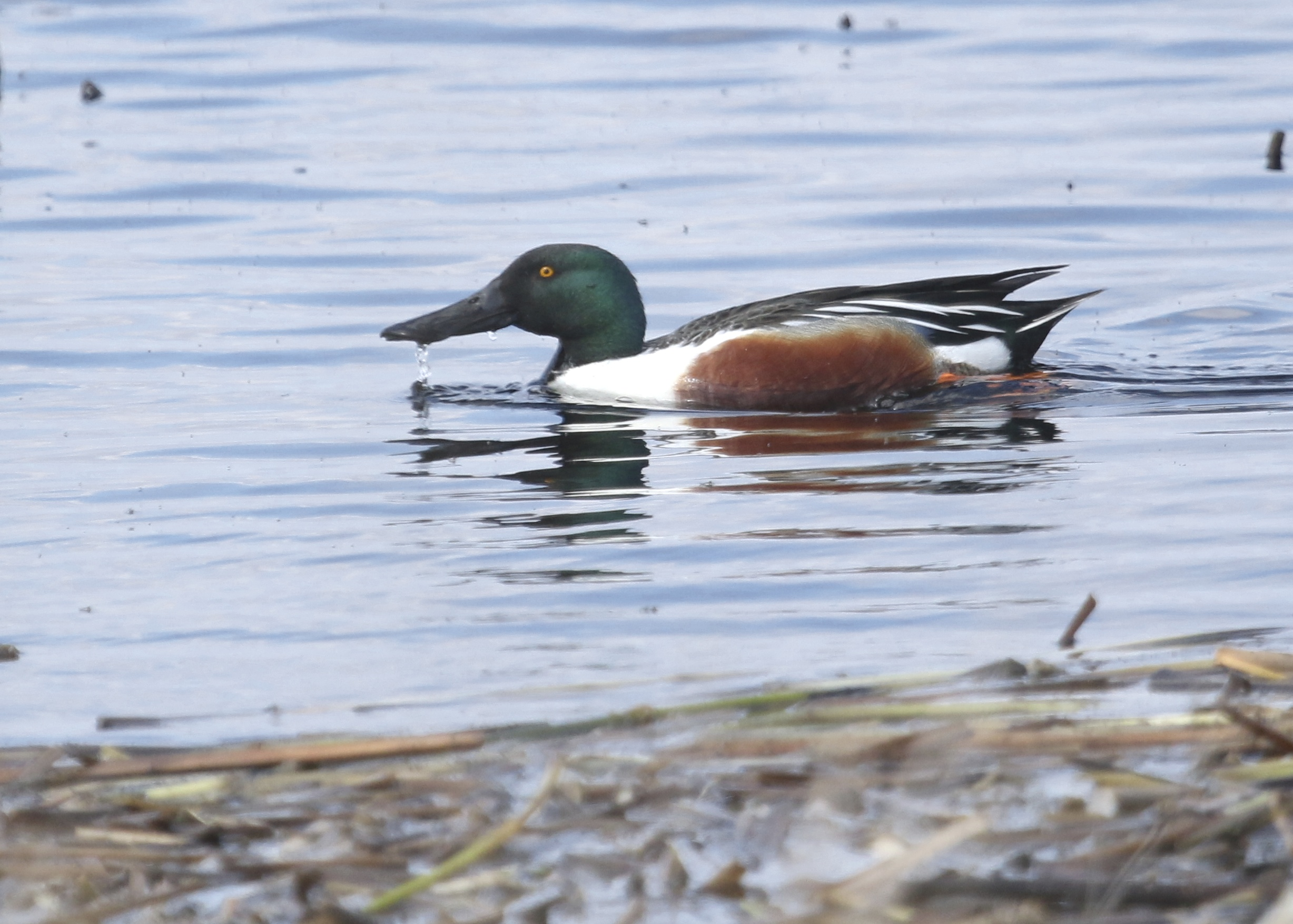Northern Shoveler at Montezuma NWR, 4/19/14.