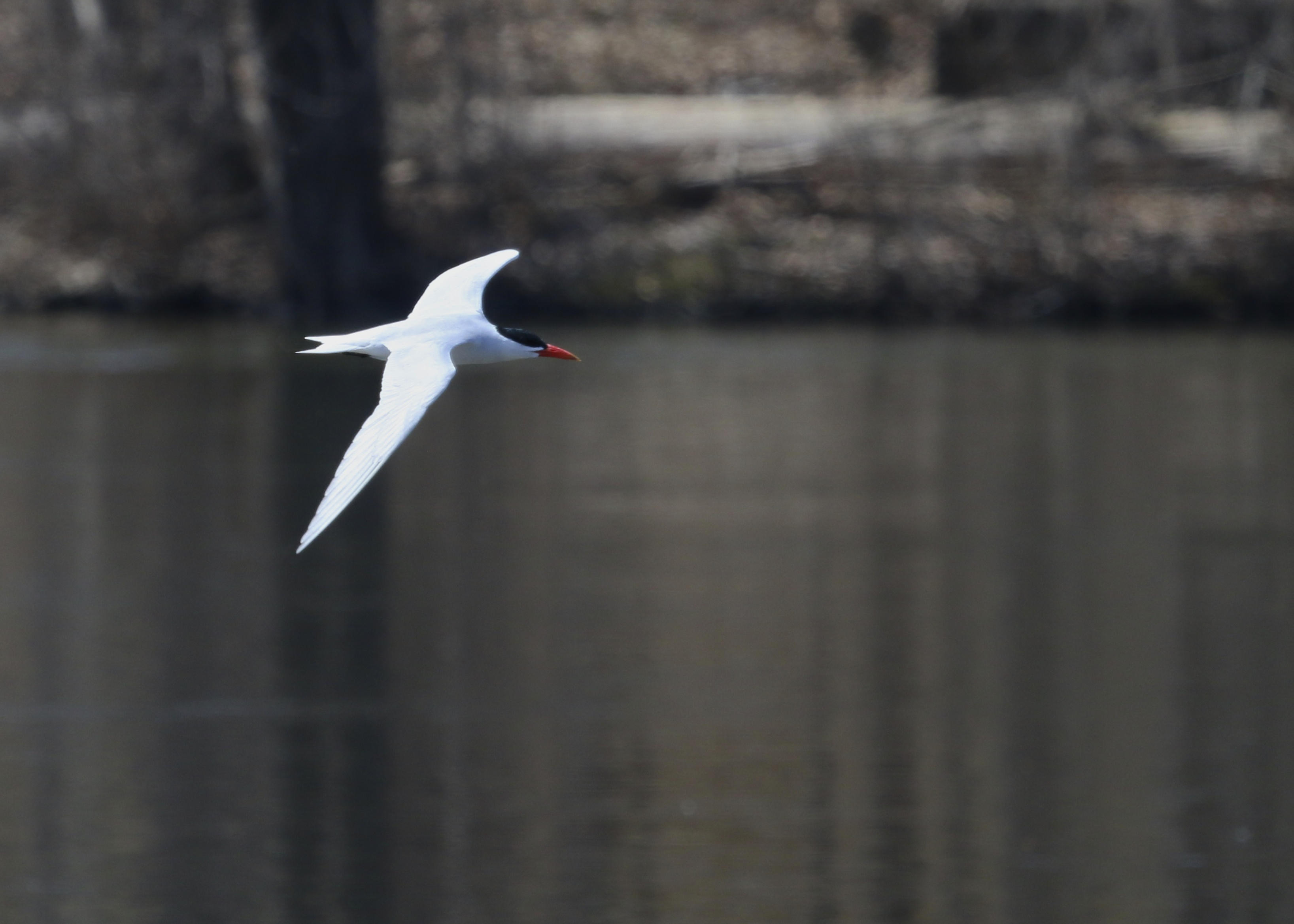 A Caspian Tern (with blown highlights) in flight. Baldwinsville, NY  4/20/14.
