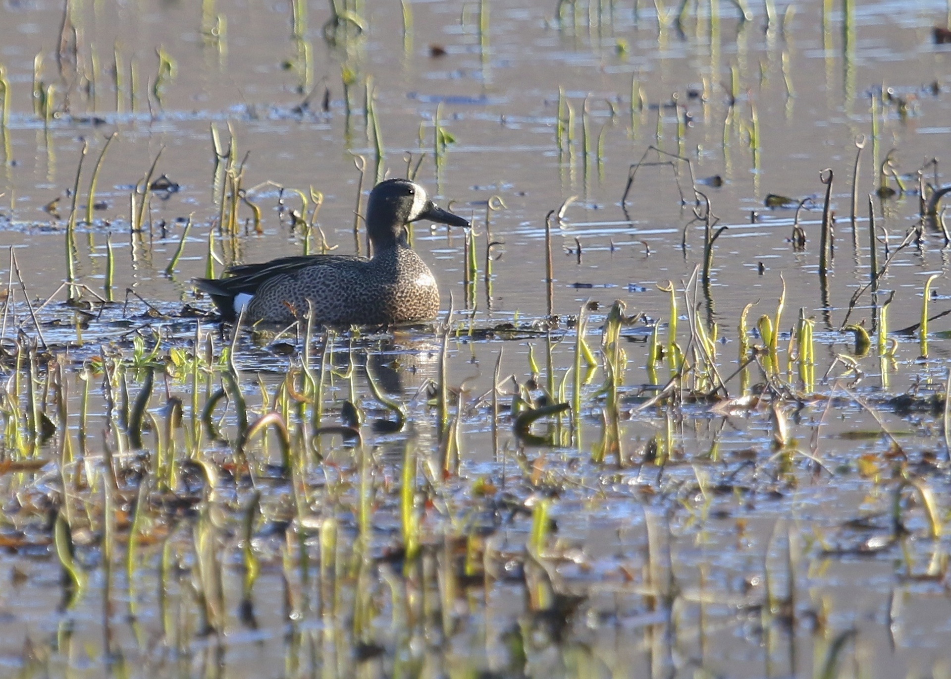 Blue-winged Teals have been a bird I've struggled to get photos of in the past, but this year I've gotten close to a few. Bashakill WMA, 4/24/14.