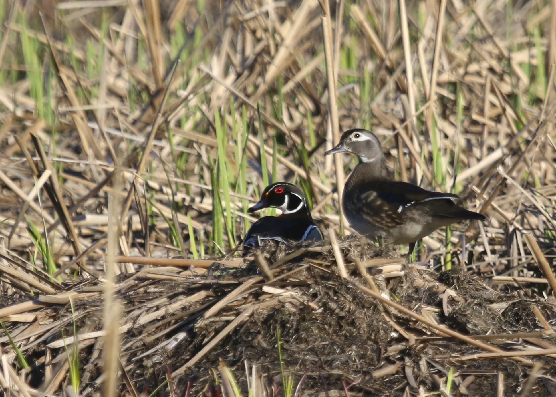 A pair of Wood Ducks at the Bashakill WMA, 4/24/14.