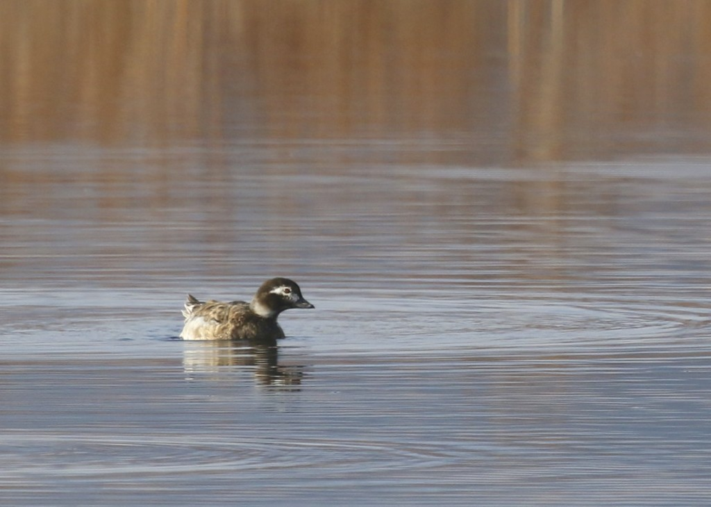 Long-tailed Duck at Wallkill River National Wildlife Refuge, 4/26/14.