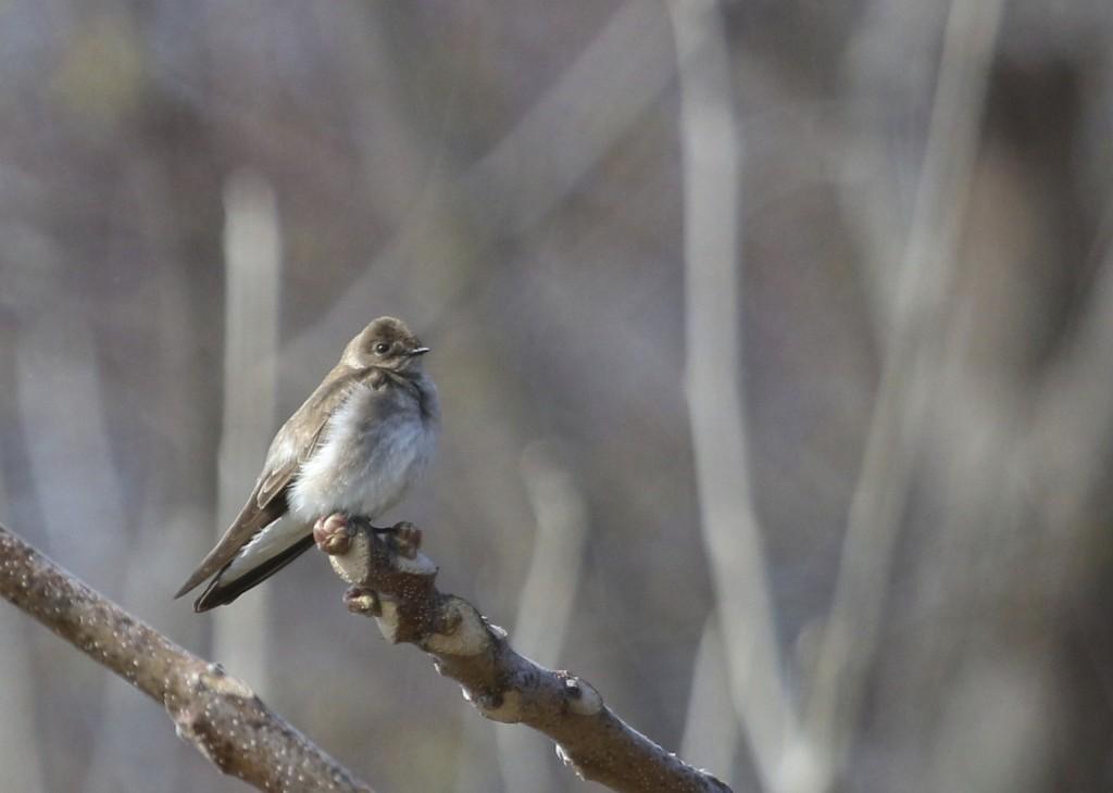 Northern Rough-winged Swallow at Wallkill River NWR, 4/26/14.